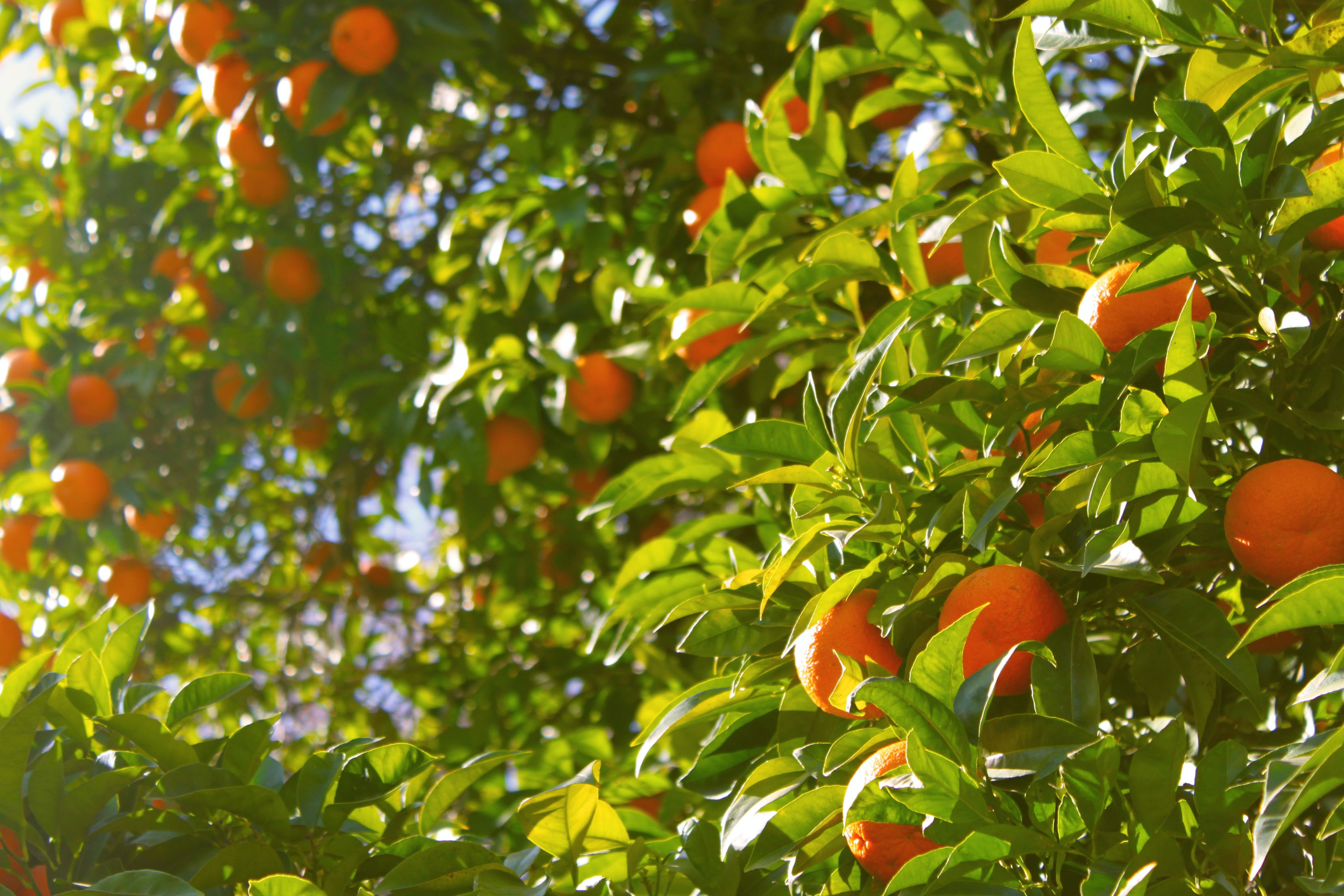 orange tree under sunny sky