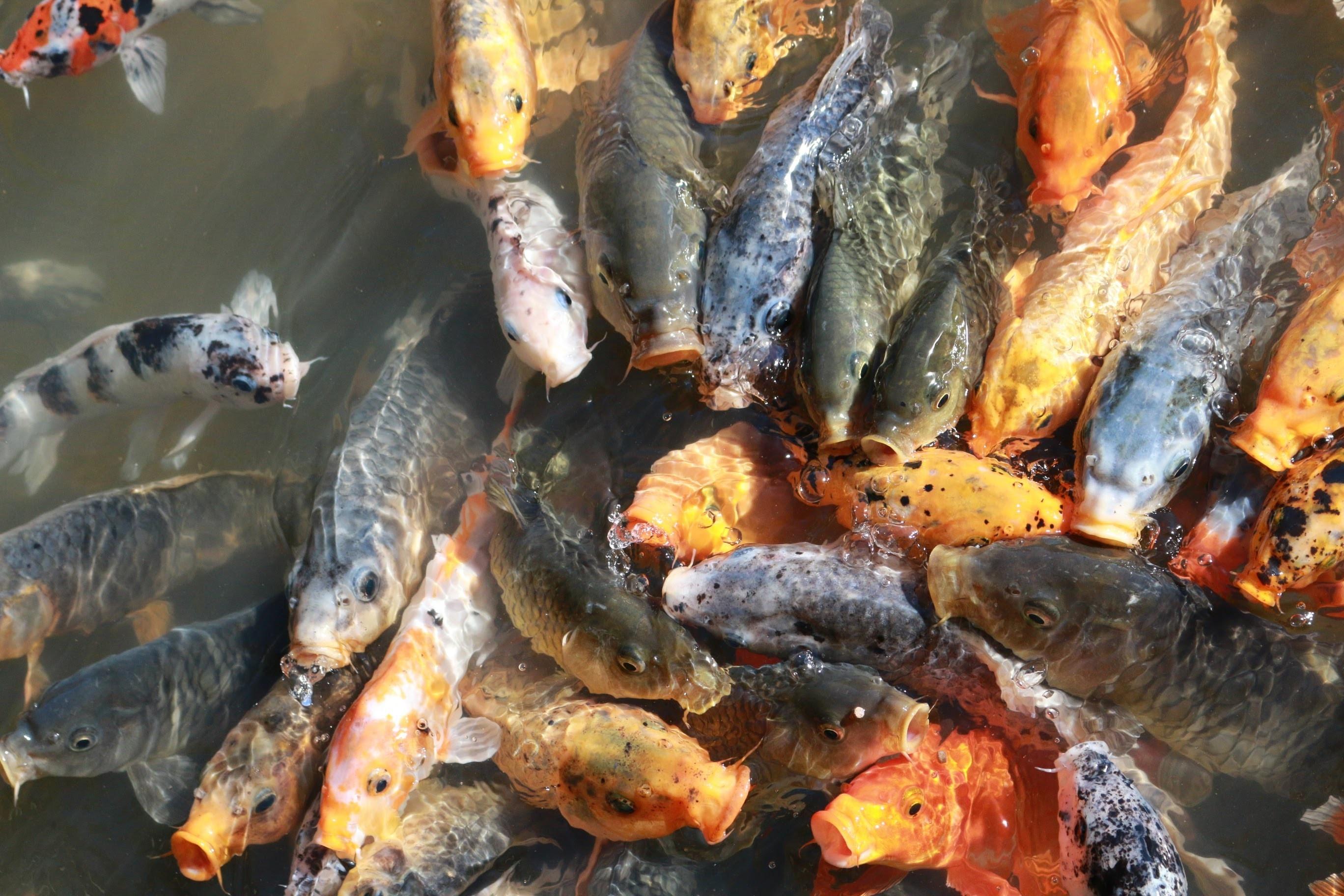 shoal of orange and gray koi fish