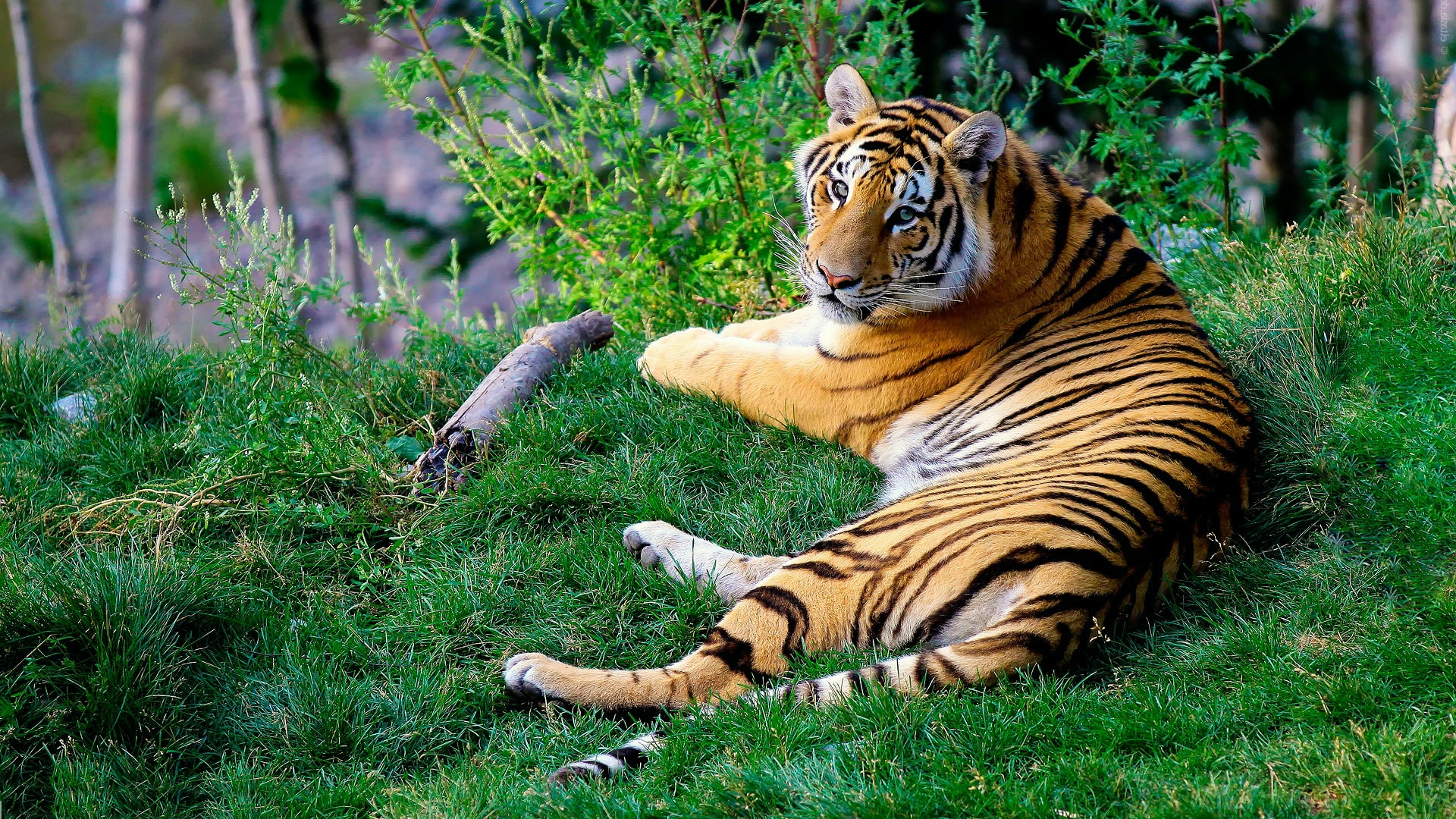 A tiger outstretched on green grass raises its head to look at the camera