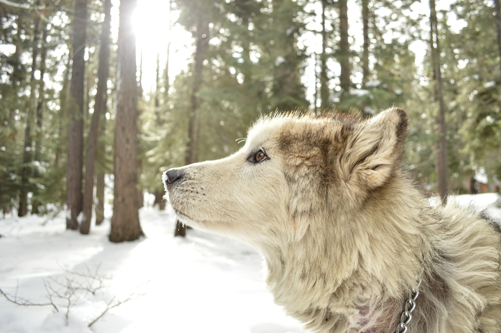 white wolf on snow forest