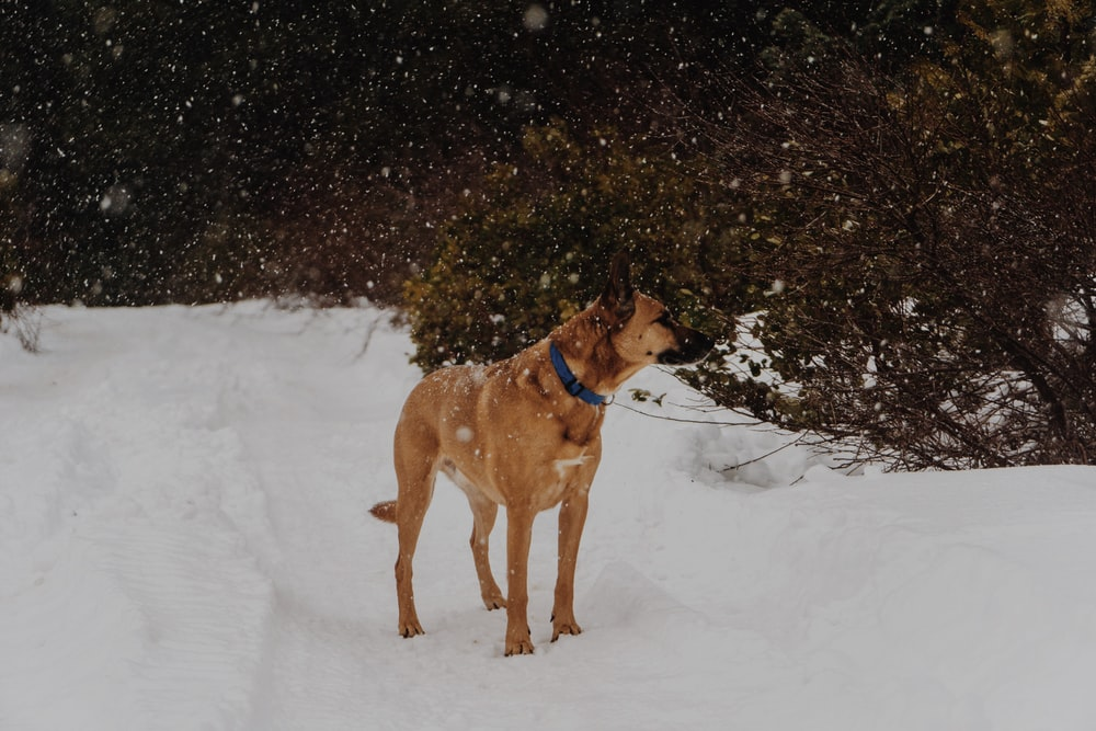 tan dog standing on snow ground near green leafed tree