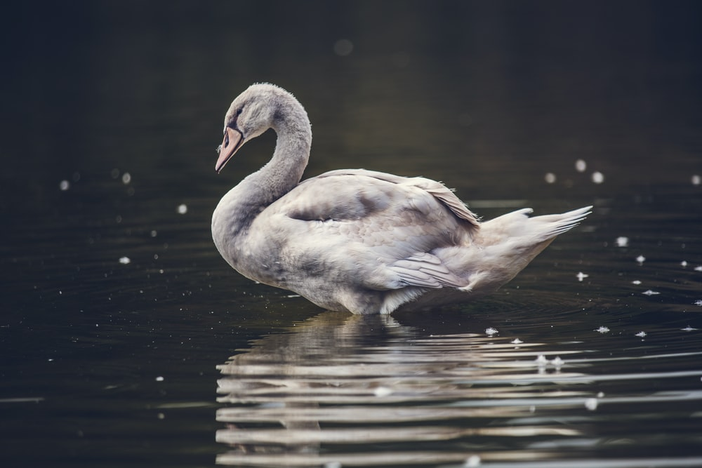 gray swan on body of water