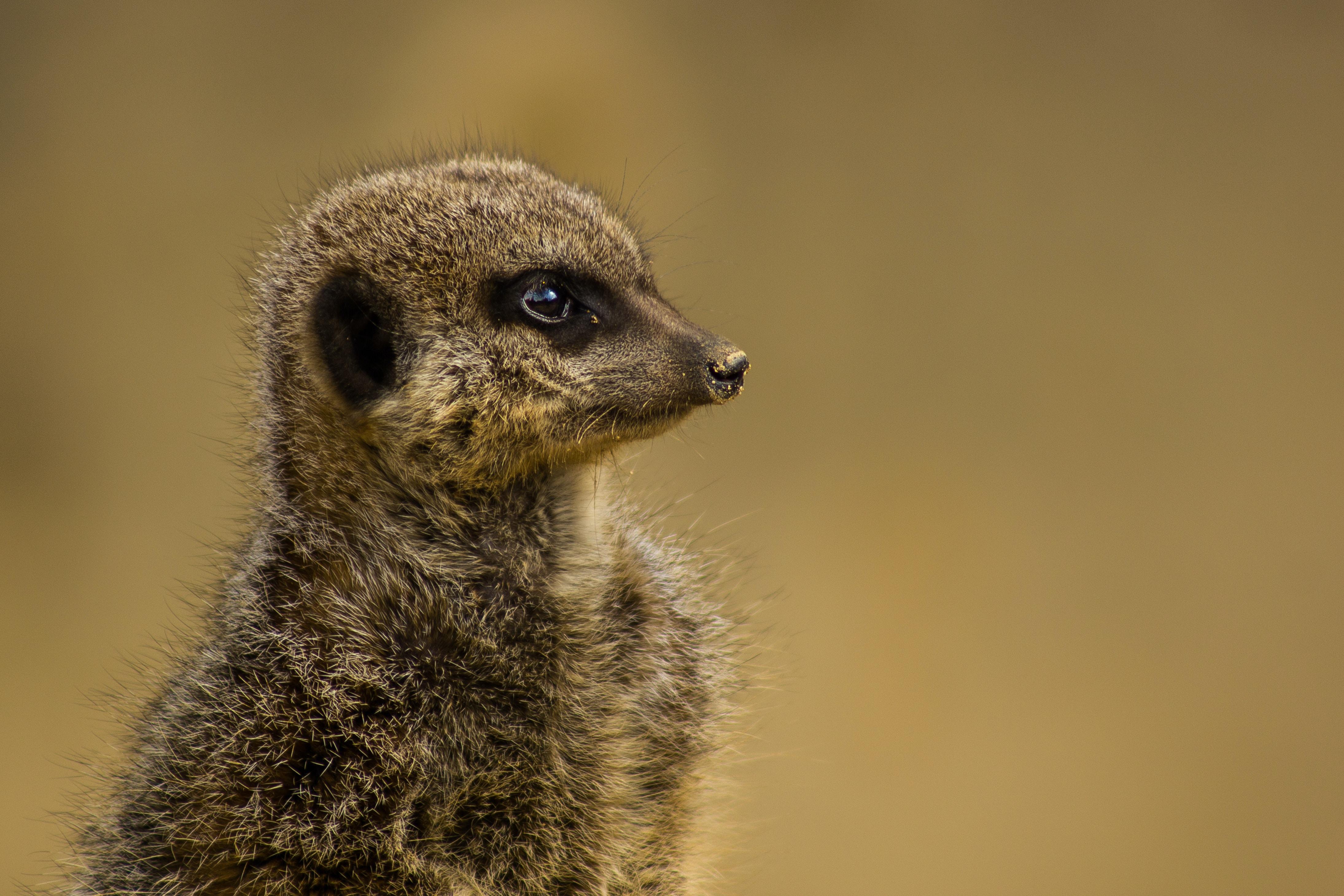 A meerkat with long coat