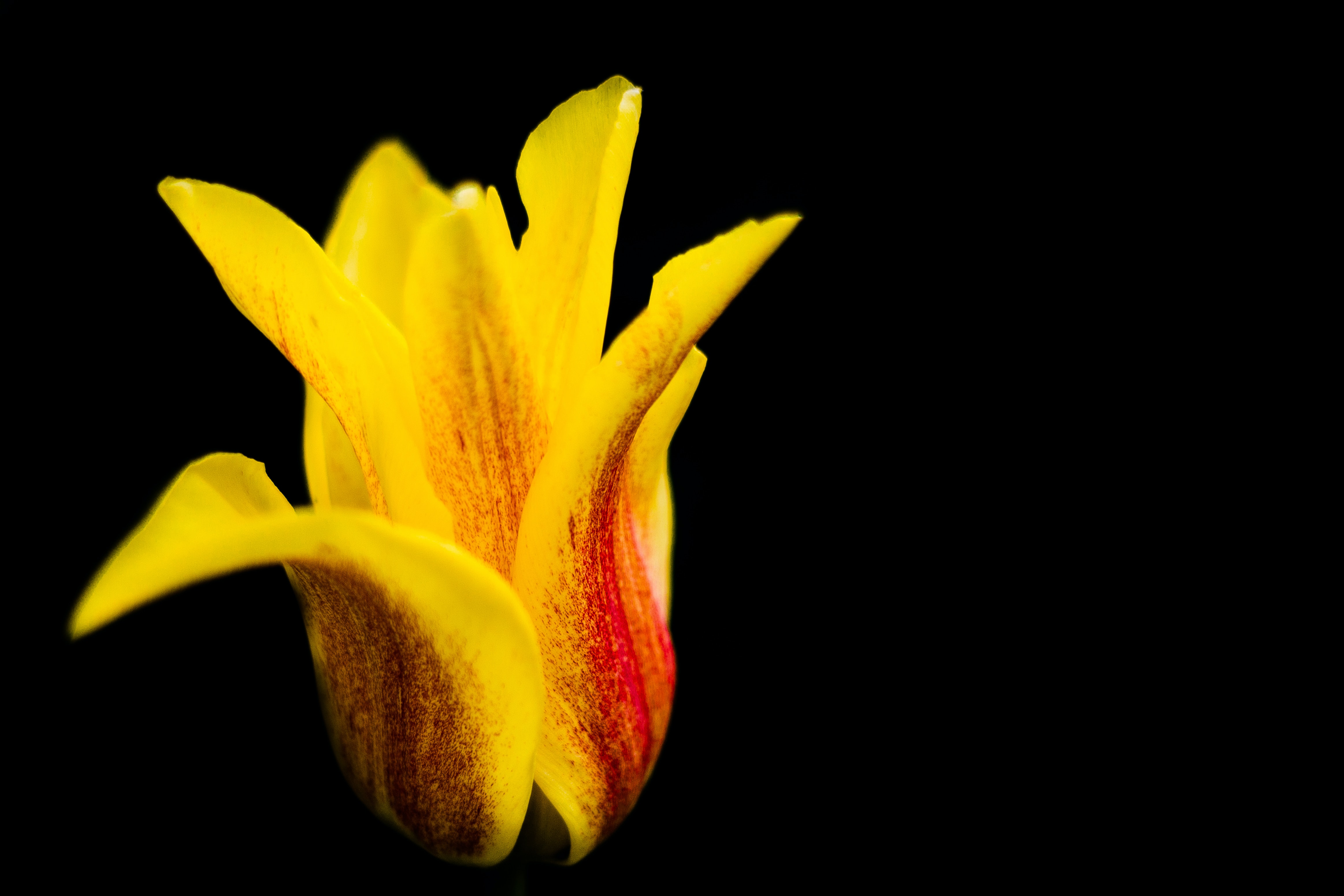 A close-up of a yellow tulip with red streaks against a black background