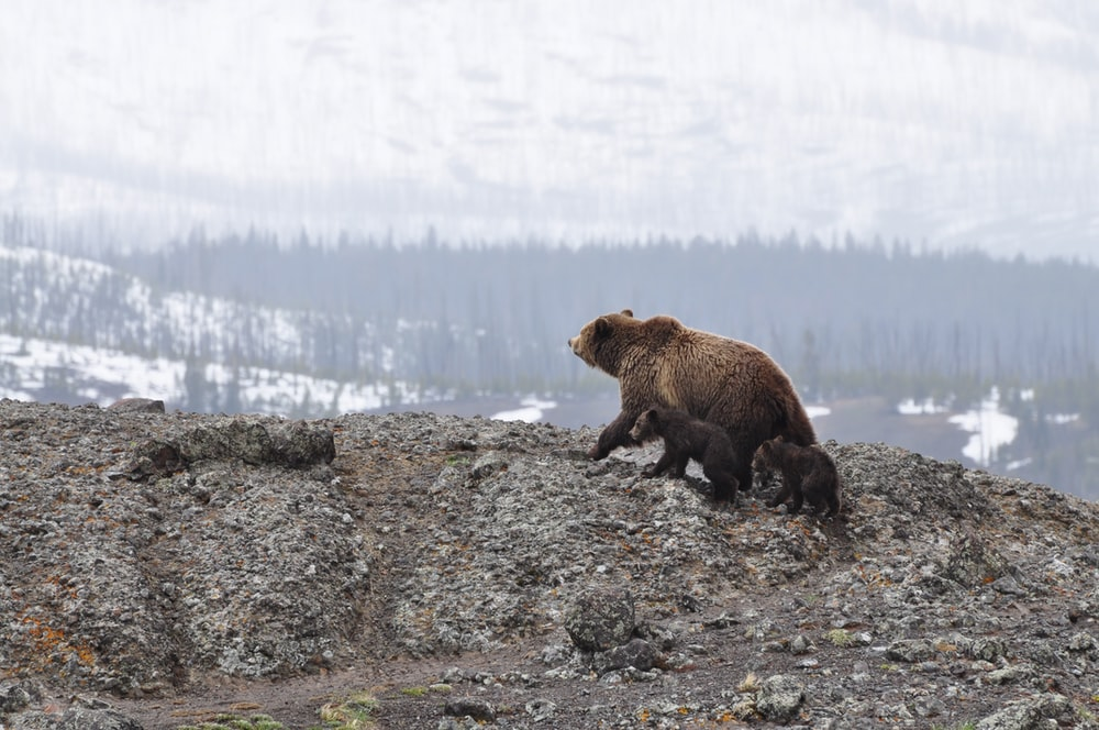 grizzly bear walking on mountain