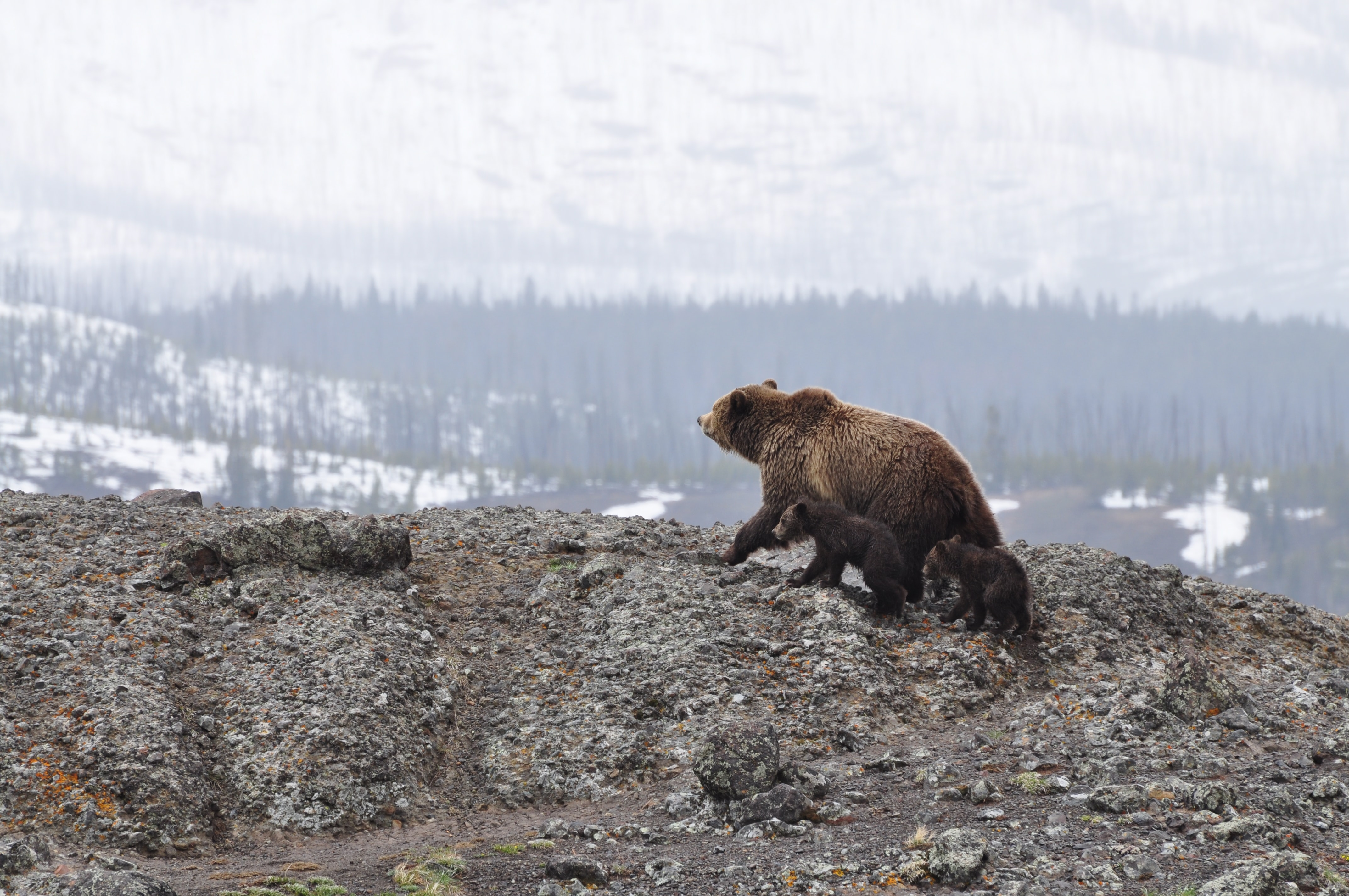 A large brown bear with two small cubs on a rocky hill in Yellowstone