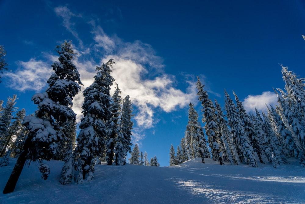 pine trees under white clouds