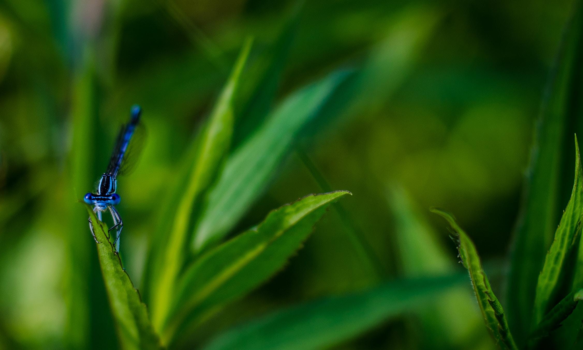 A blue dragonfly clutching a green lance-like leaf