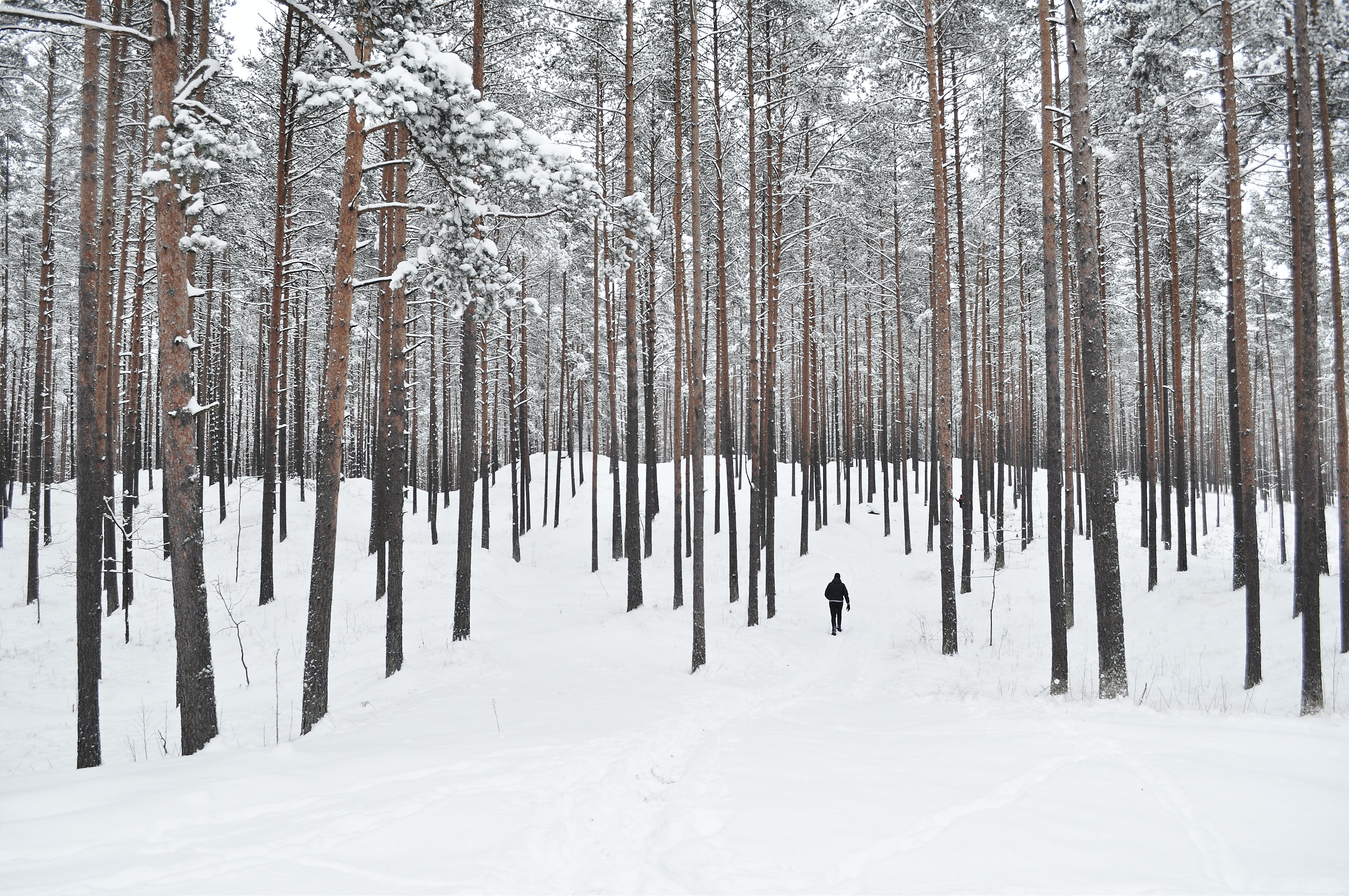 A person walking in the forest through tall pine trees in the snow