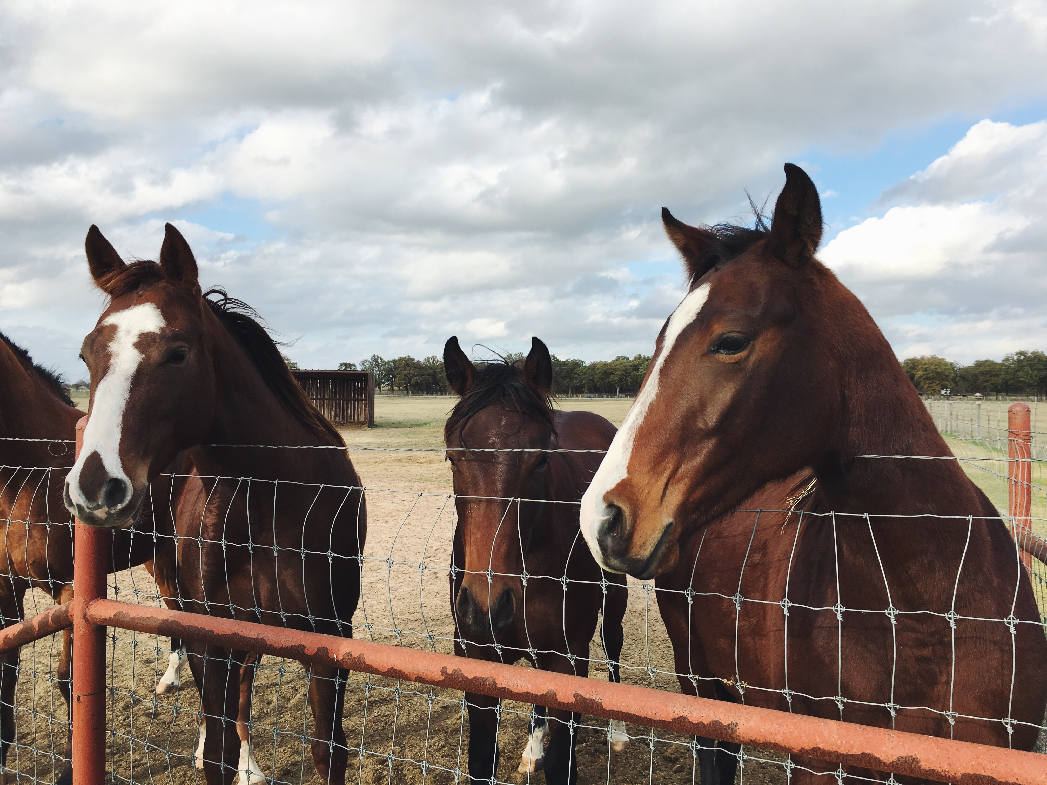 A group of dark bay horses with their heads over a wire fence