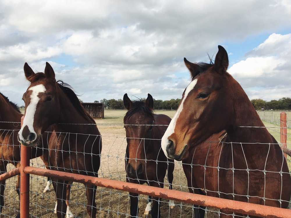 four brown horses behind fence