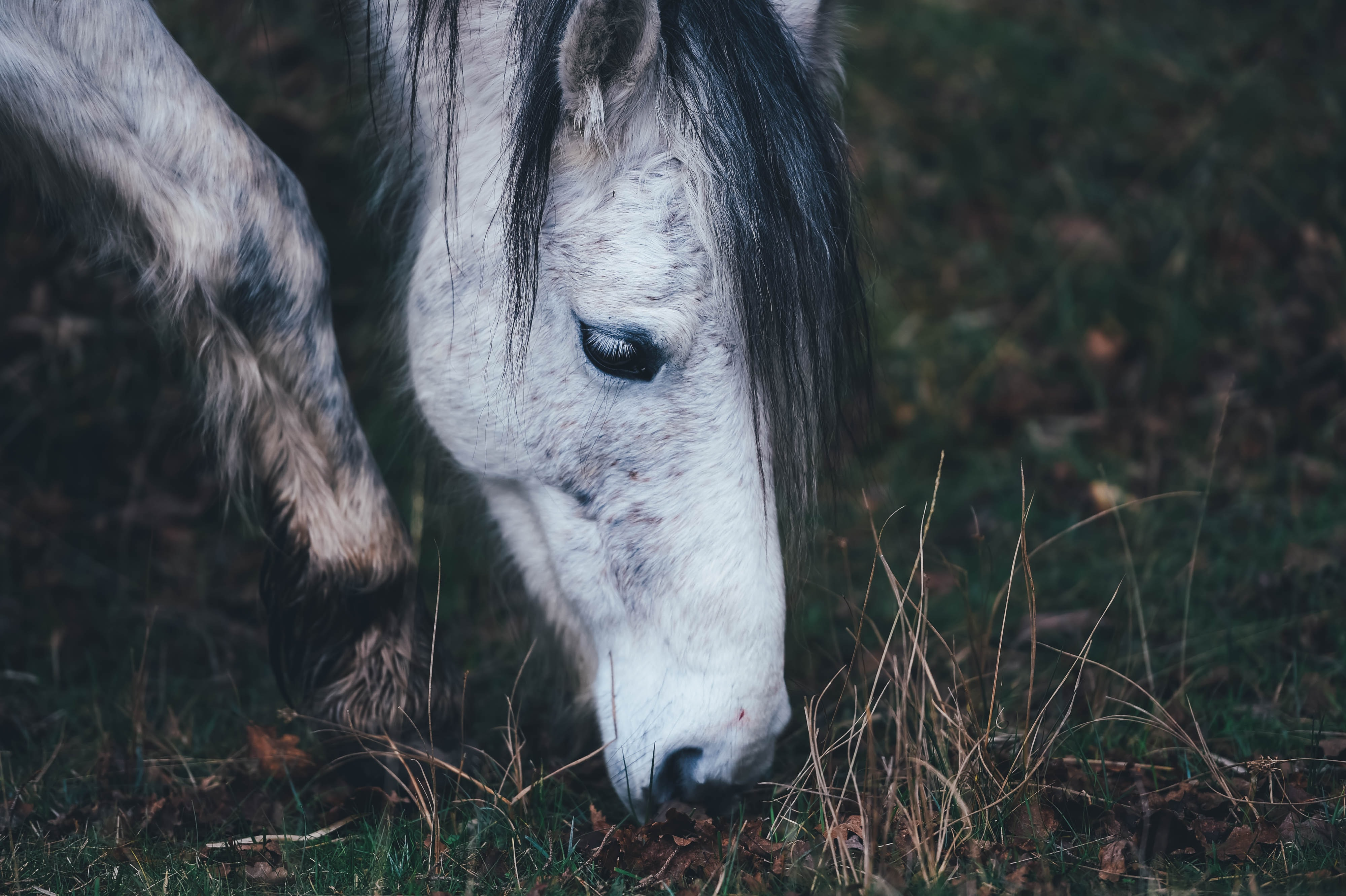 A close-up of the head of a gray horse grazing in the field