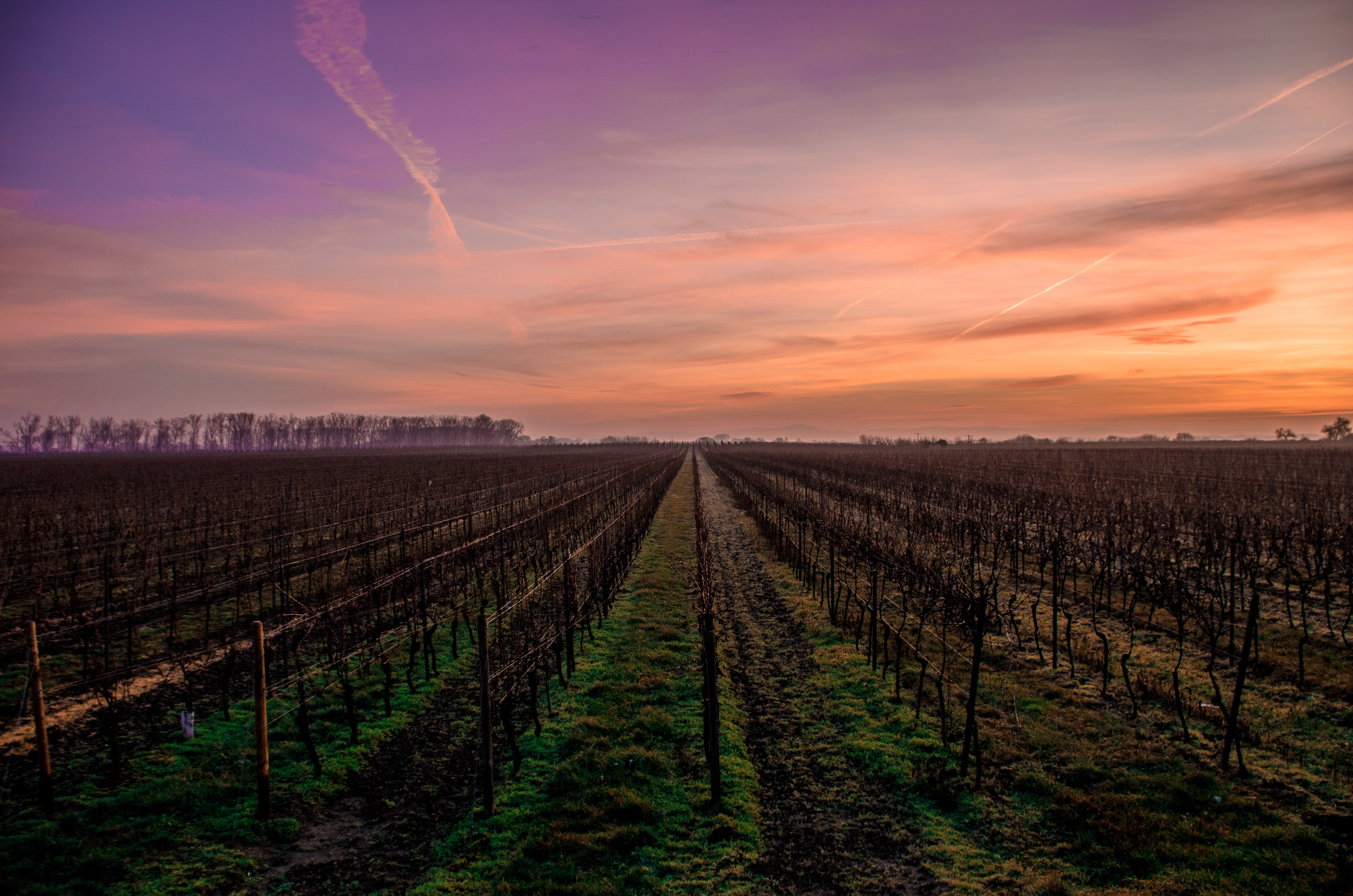 A row of crops at a vineyard during sunrise.