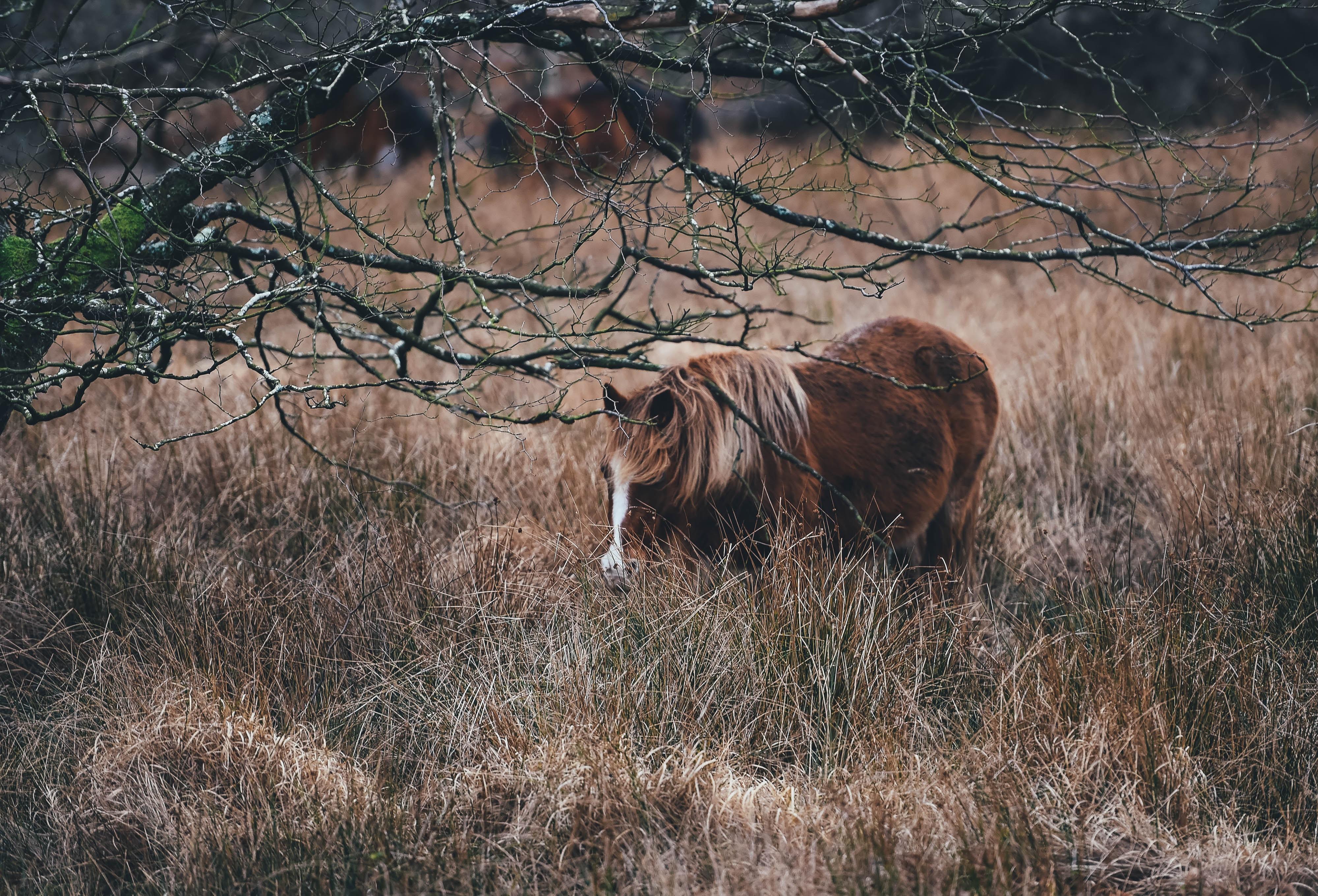 A shaggy brown horse walking through tall dry grass under a bare tree
