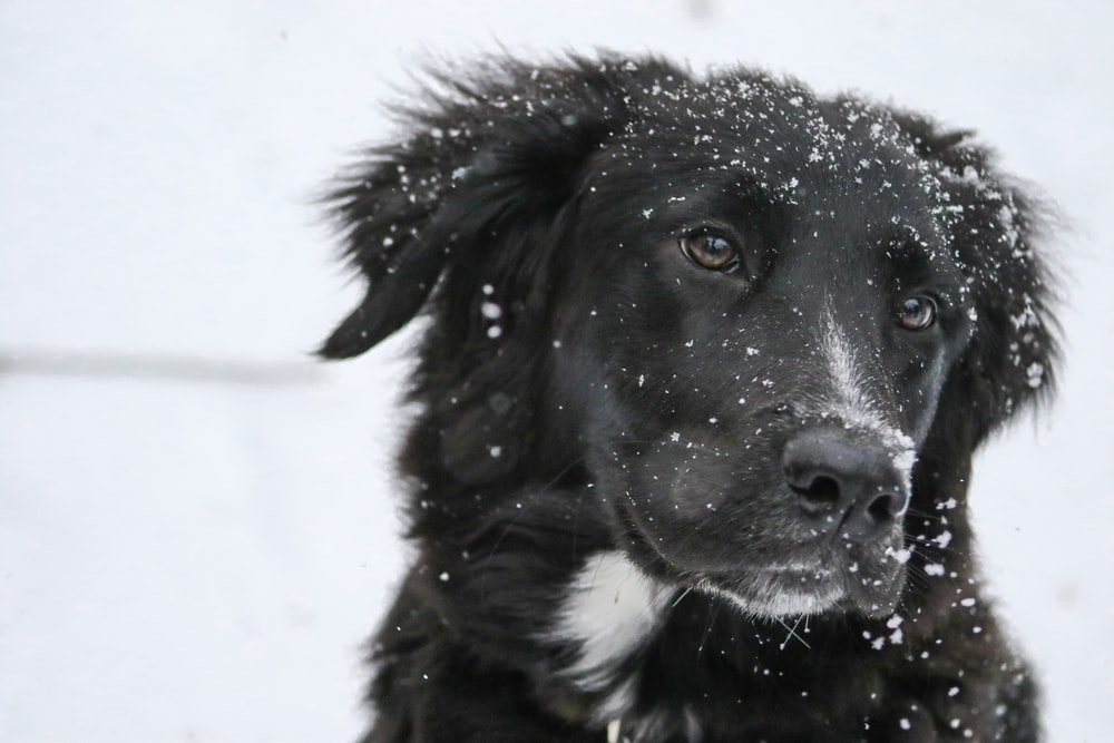 shallow focus photography of black dog with snow on fur