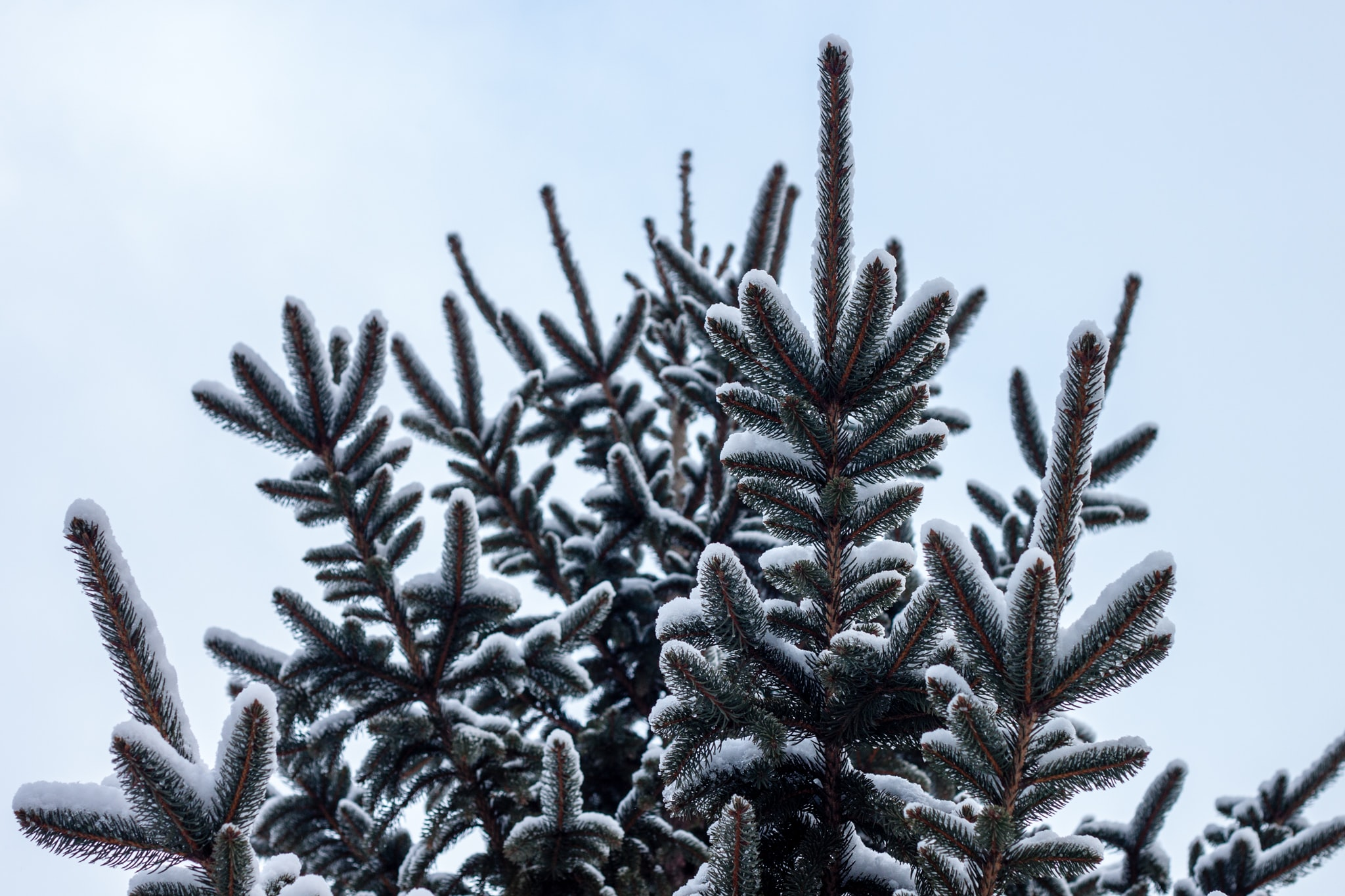 Snow on fir tree leaves.