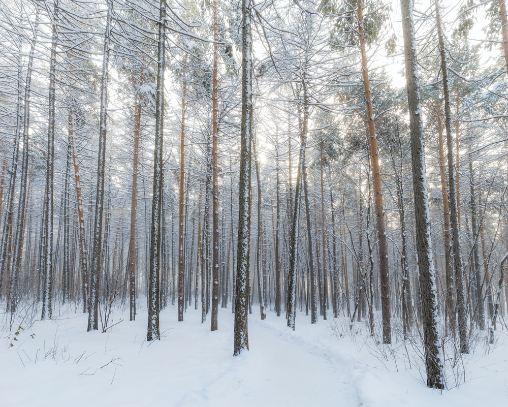 withered trees surrounded by snow