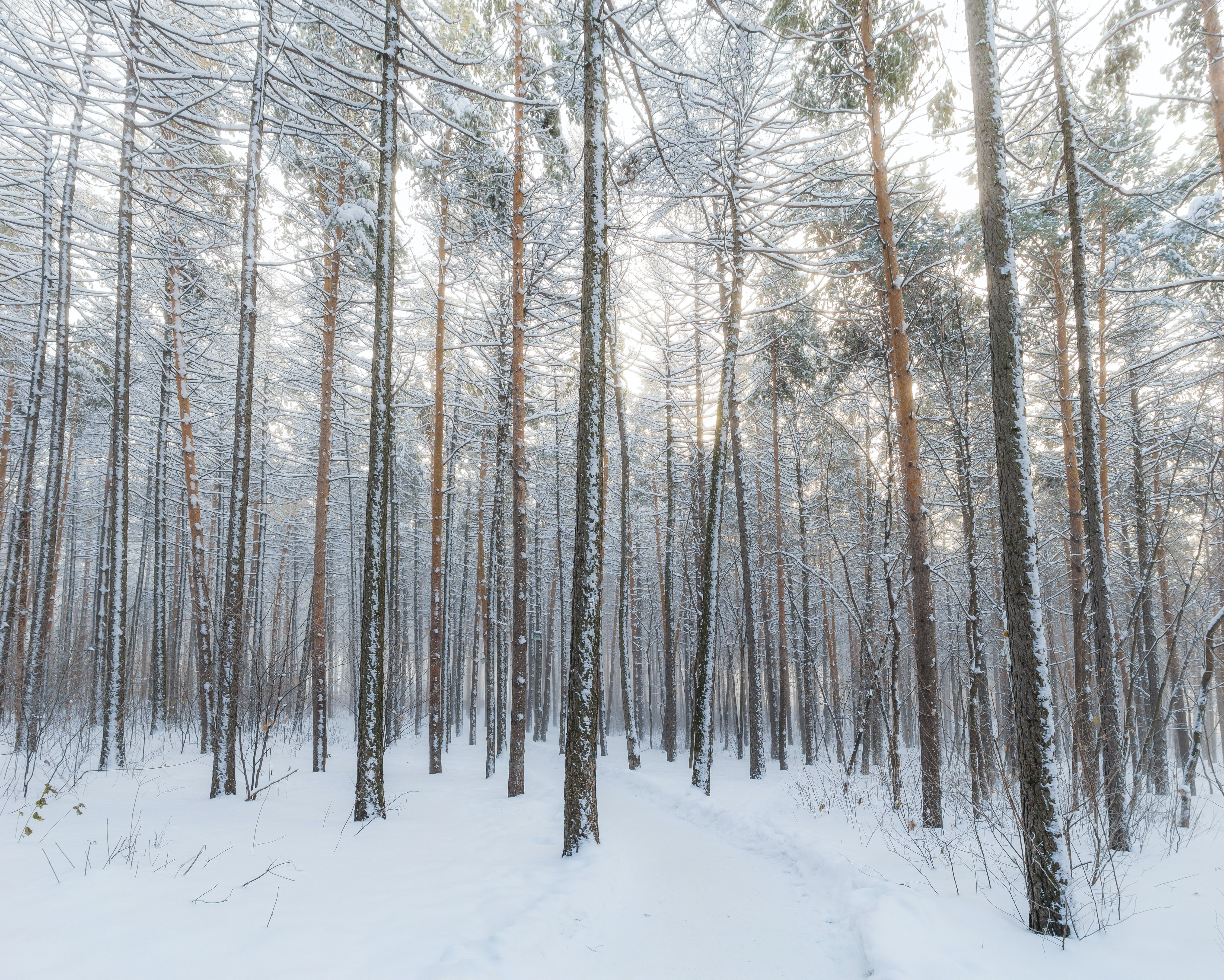 Bare trees buried in the snow in the forest with a soft white glow