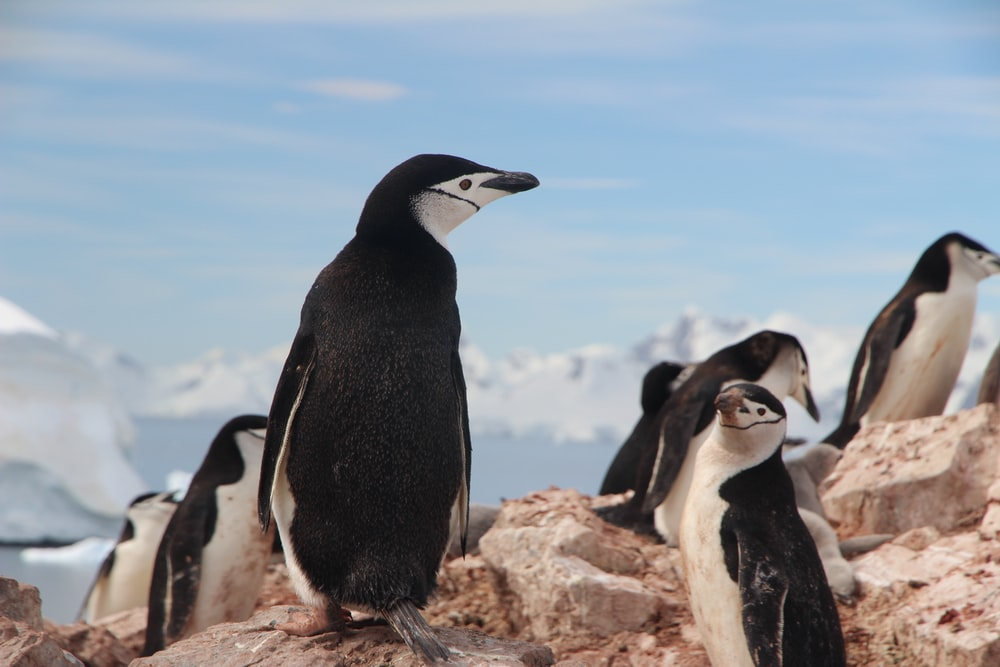 black and white rock penguins on gray rock