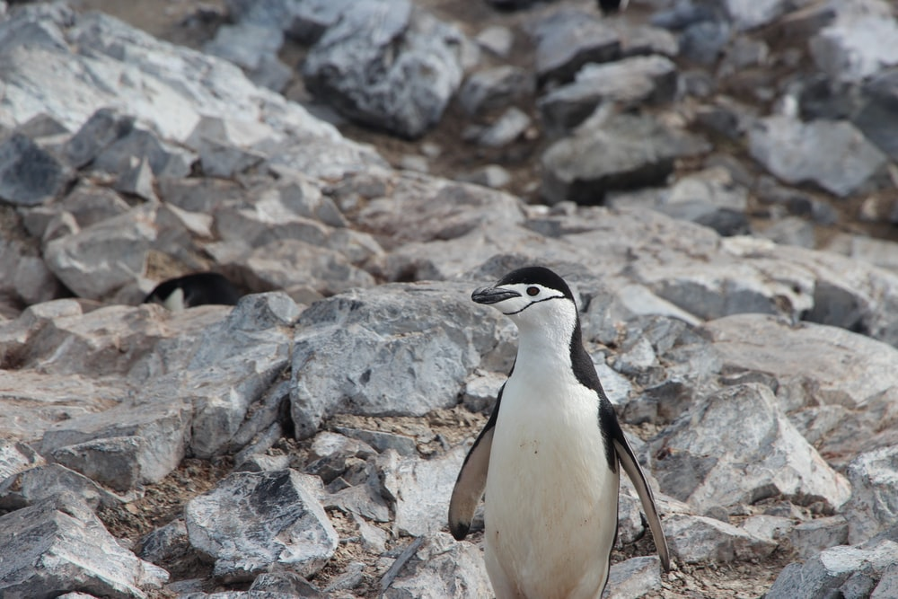 selective focus photo of white and black penguin standing on stone