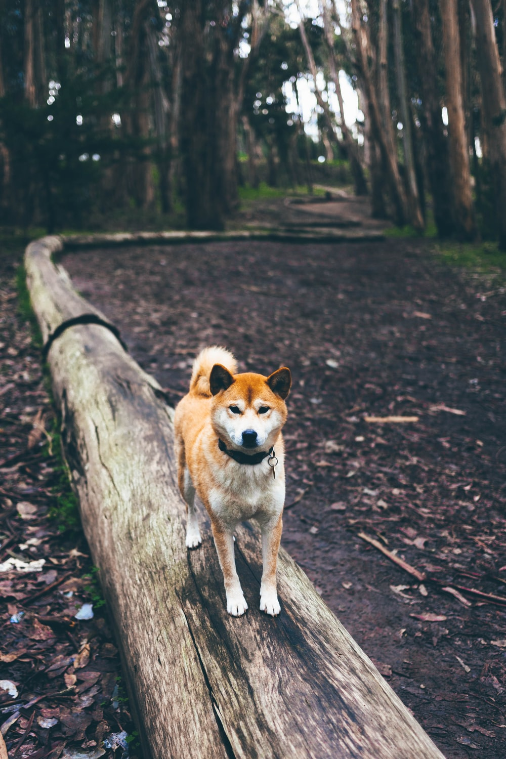 brown and white dog on brown log path in the middle of forest