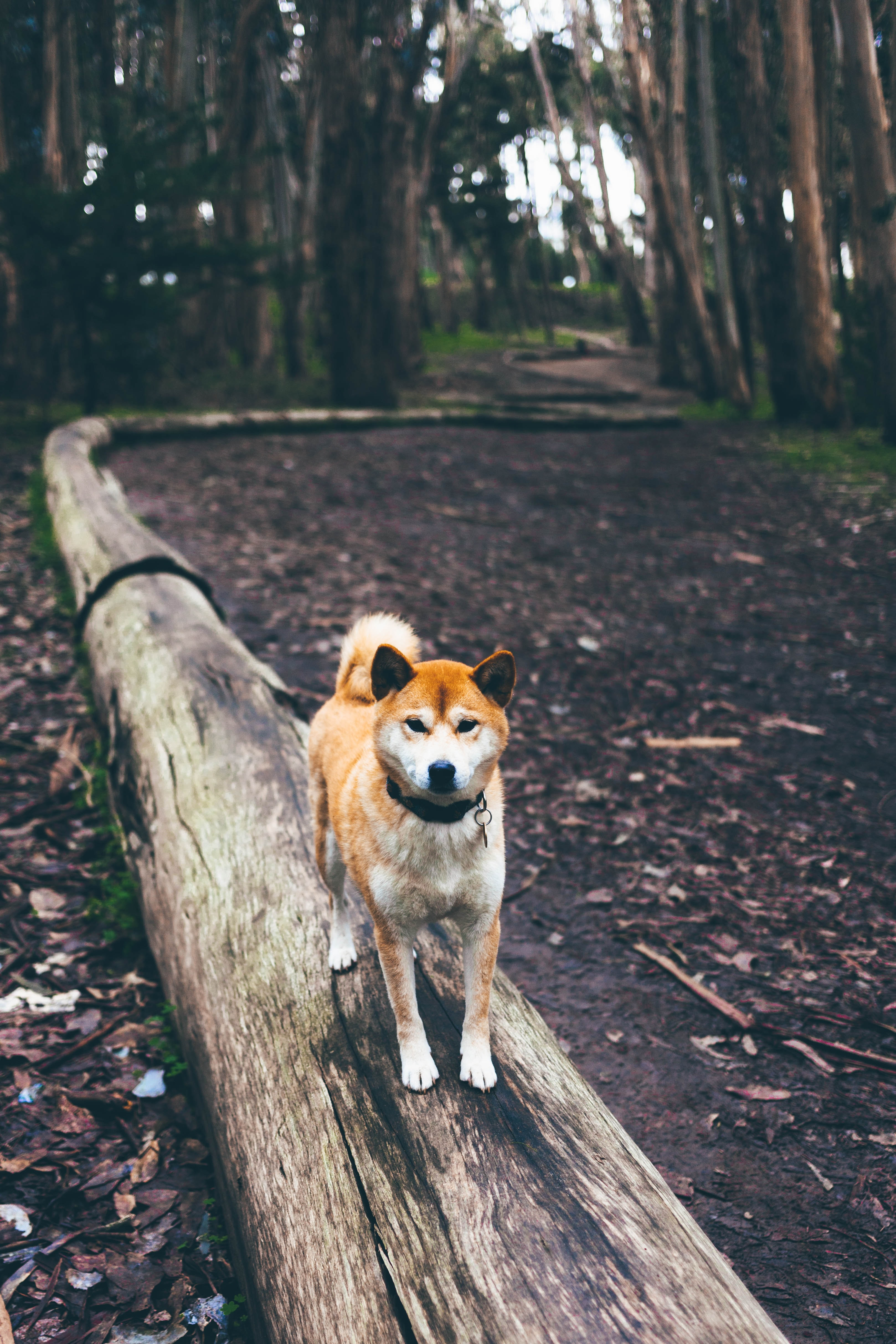 A dog standing on a log in a forest called Lover's Lane