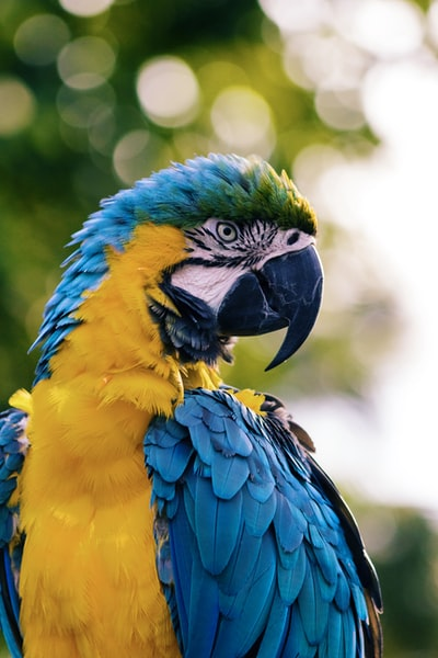 close up of a yellow and blue macaw