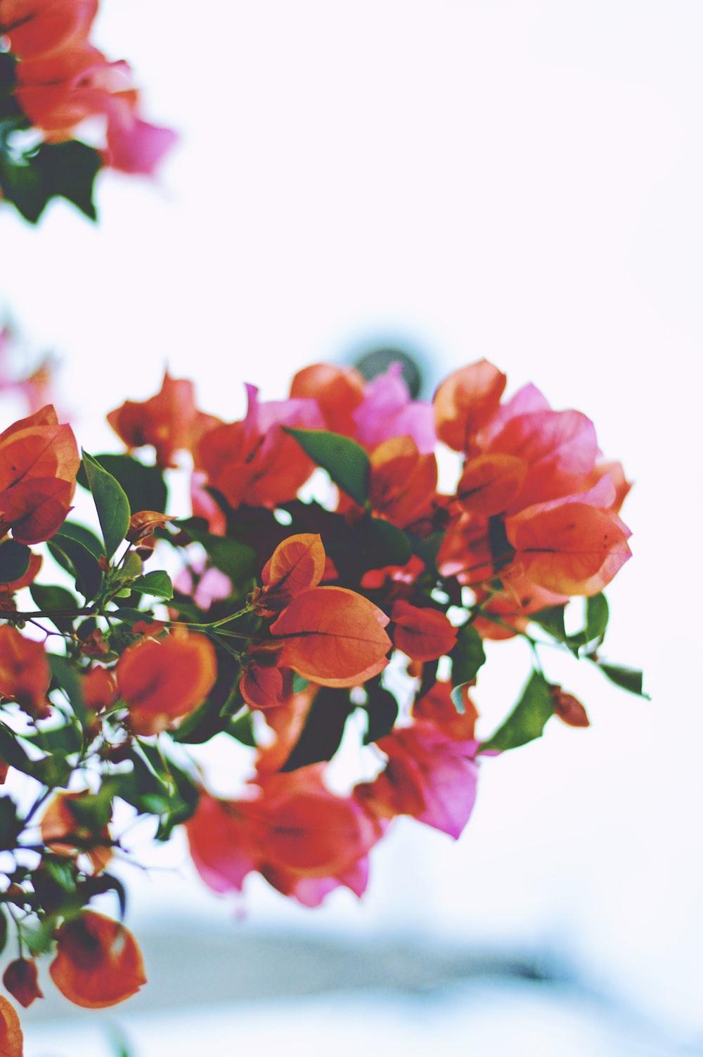closeup photography of orange bougainvillea flowers