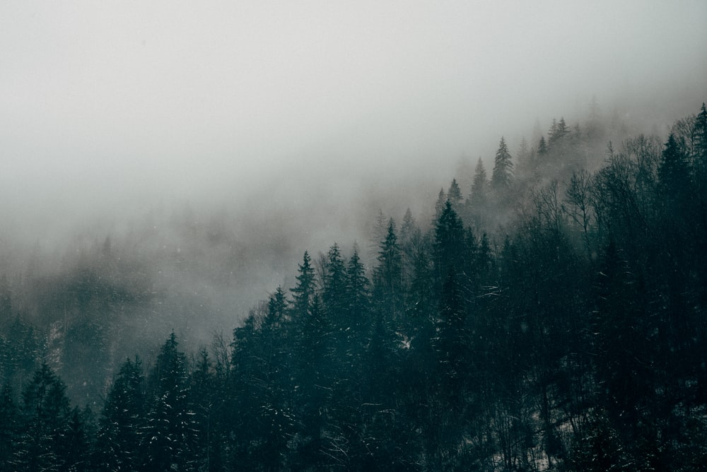 aerial photography of pine trees with mist
