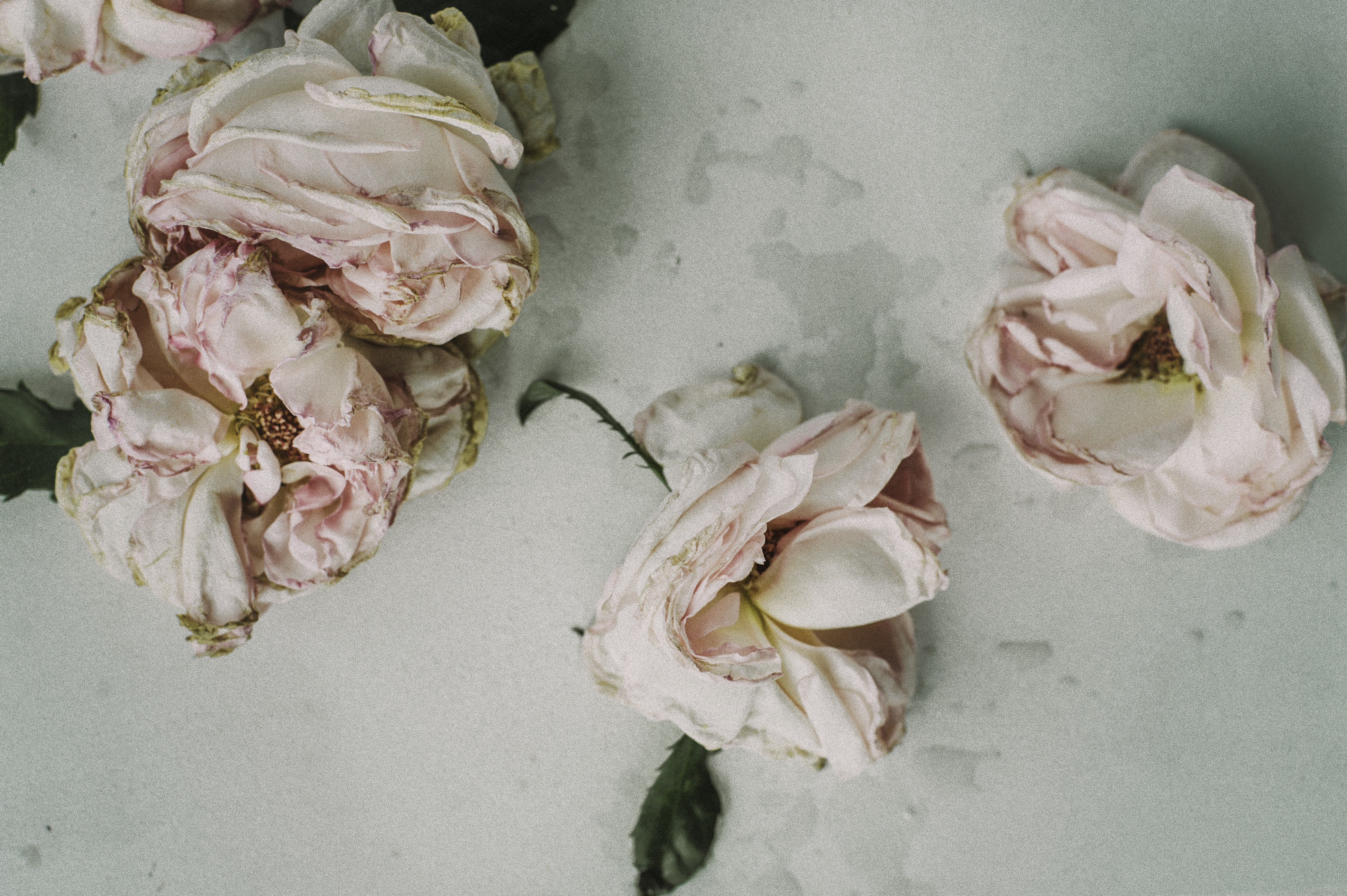 An overhead shot of wilting pink rose flowers on a white surface