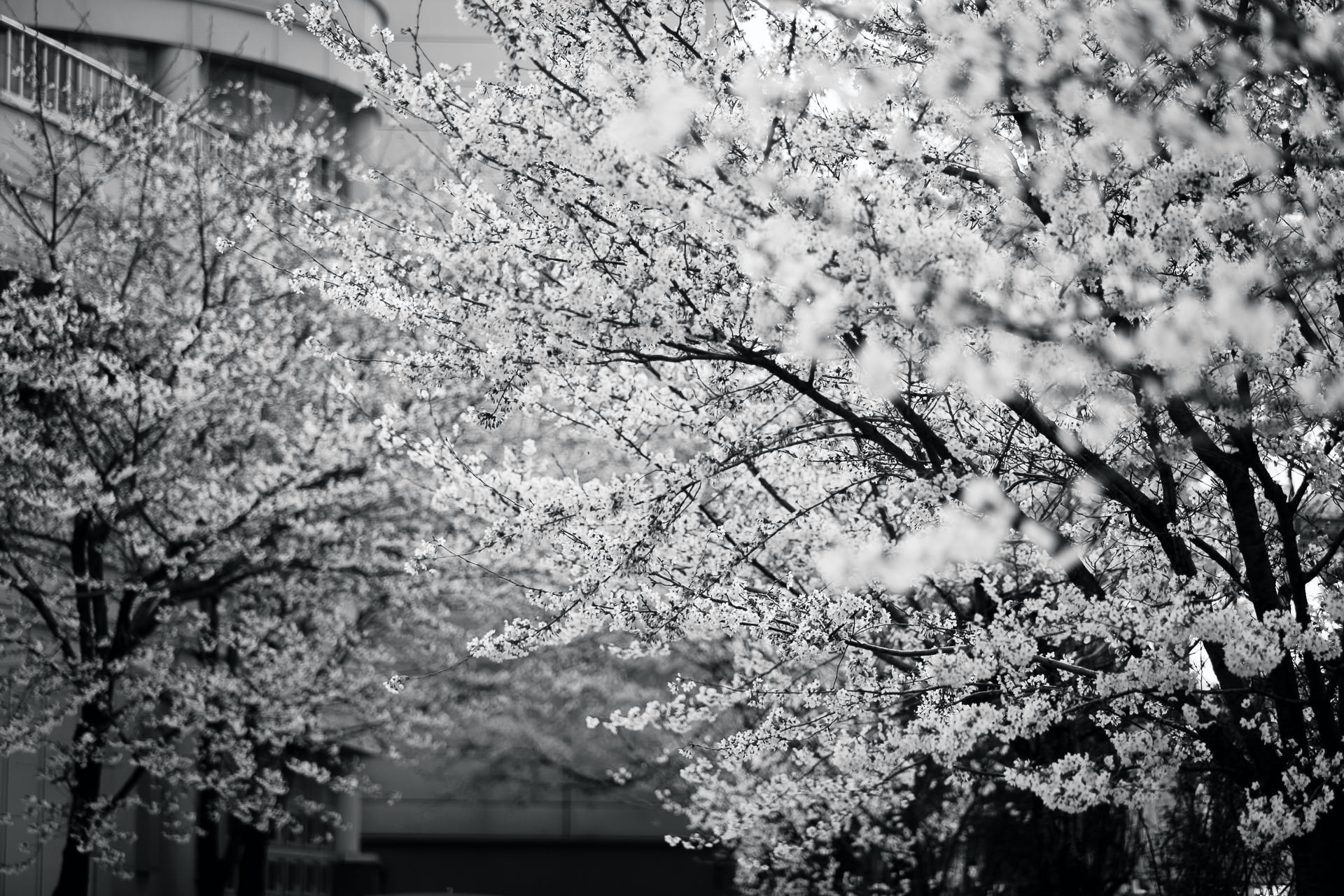 Black and white picture of cherry blossom tree in bloom in Spring, 두호고등학교