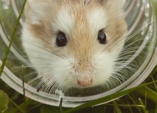 closeup photo of brown hamster in glass cup