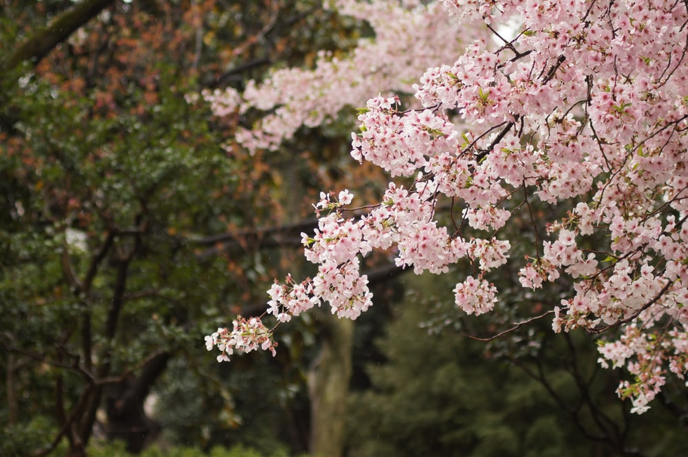 100 Cherry Blossom Tree Pictures Download Free Images On Unsplash