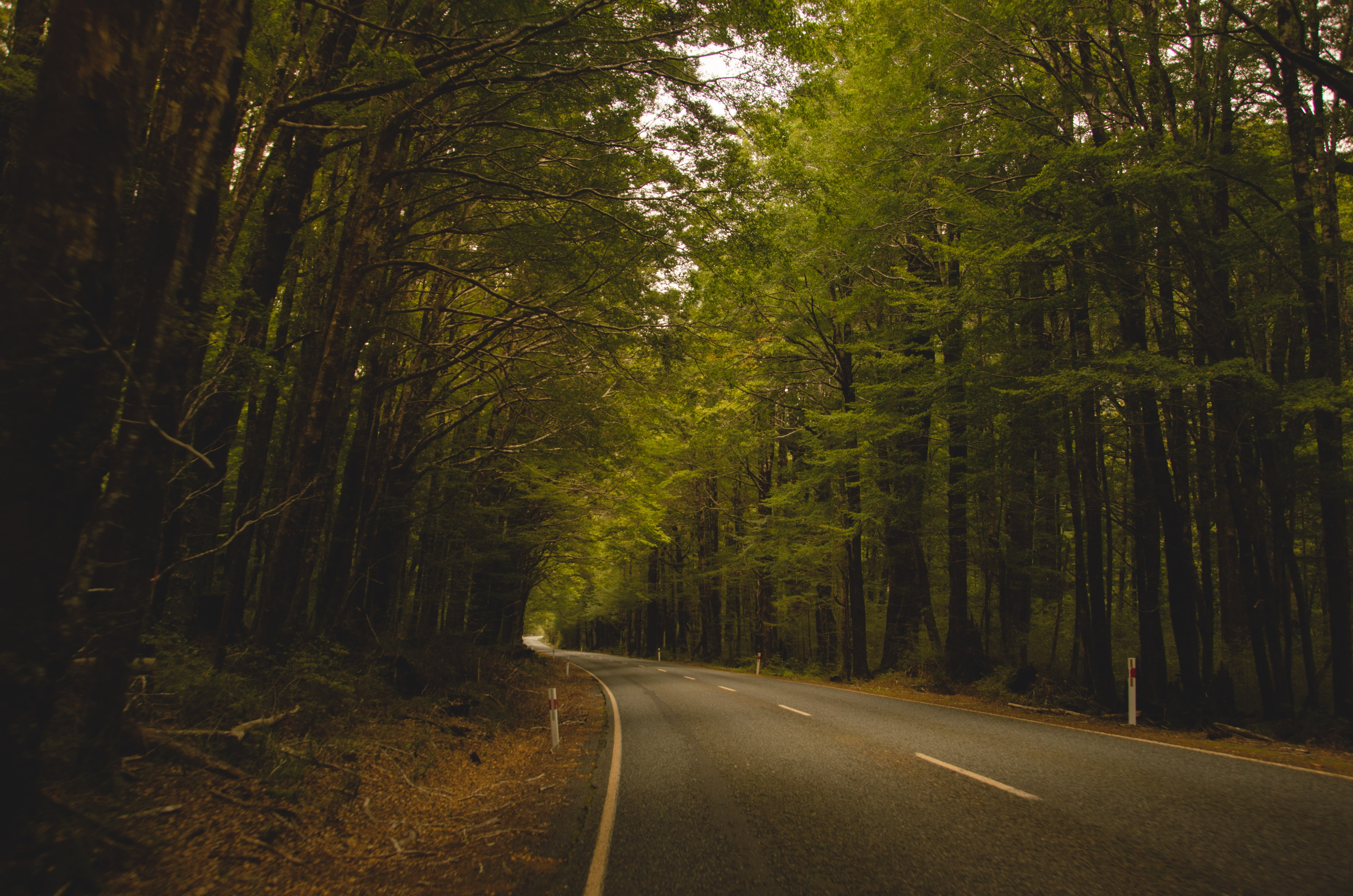 Road through the woods lines with tall green trees