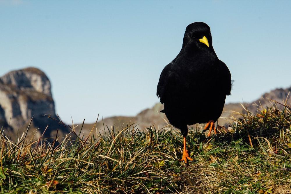 black crow on green field