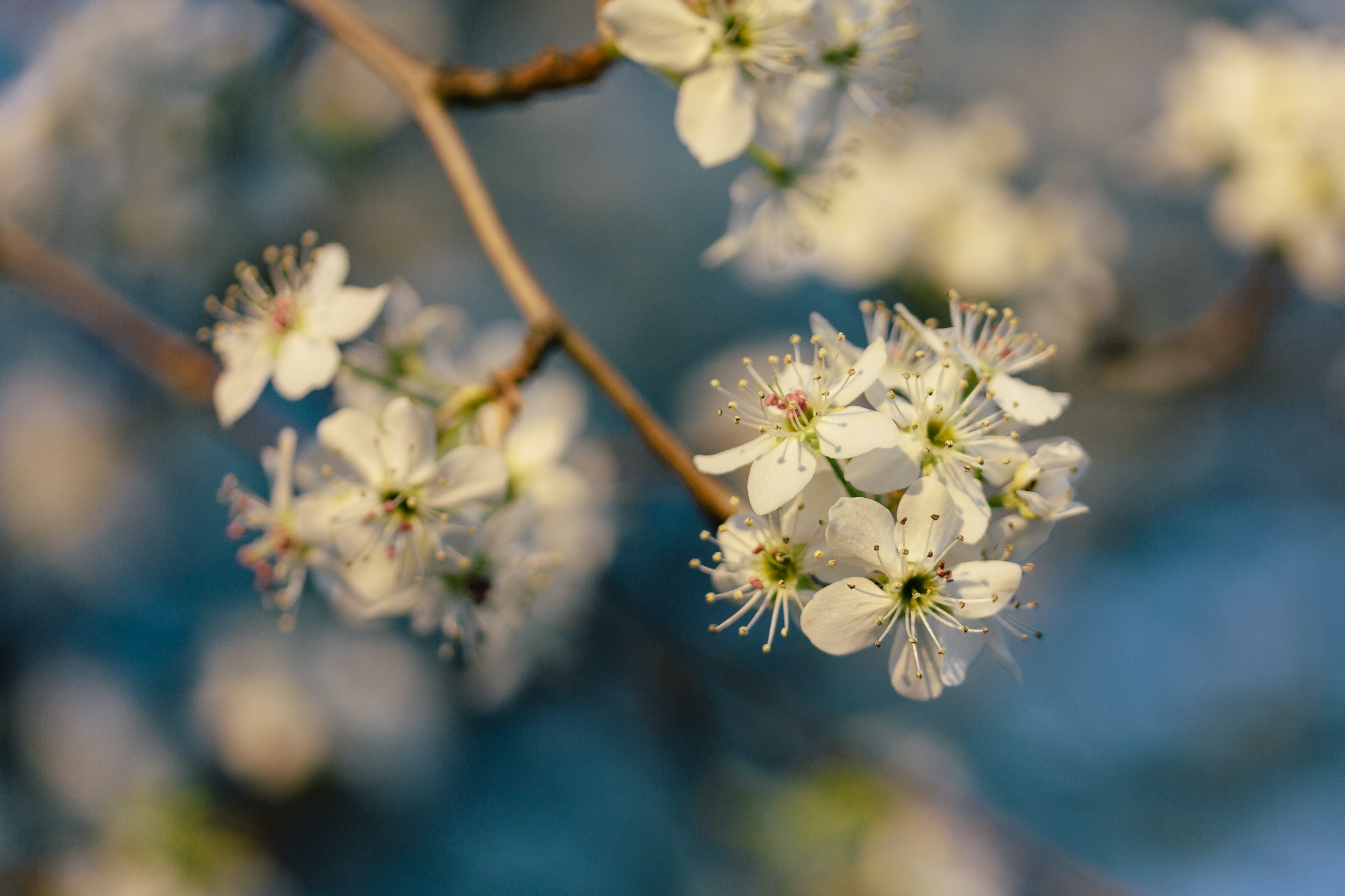 Macro white blossom flower and twig in Spring