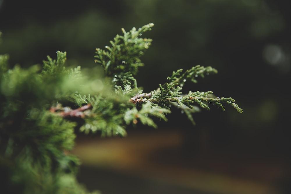 tilt-shift lens photography of pine tree twig