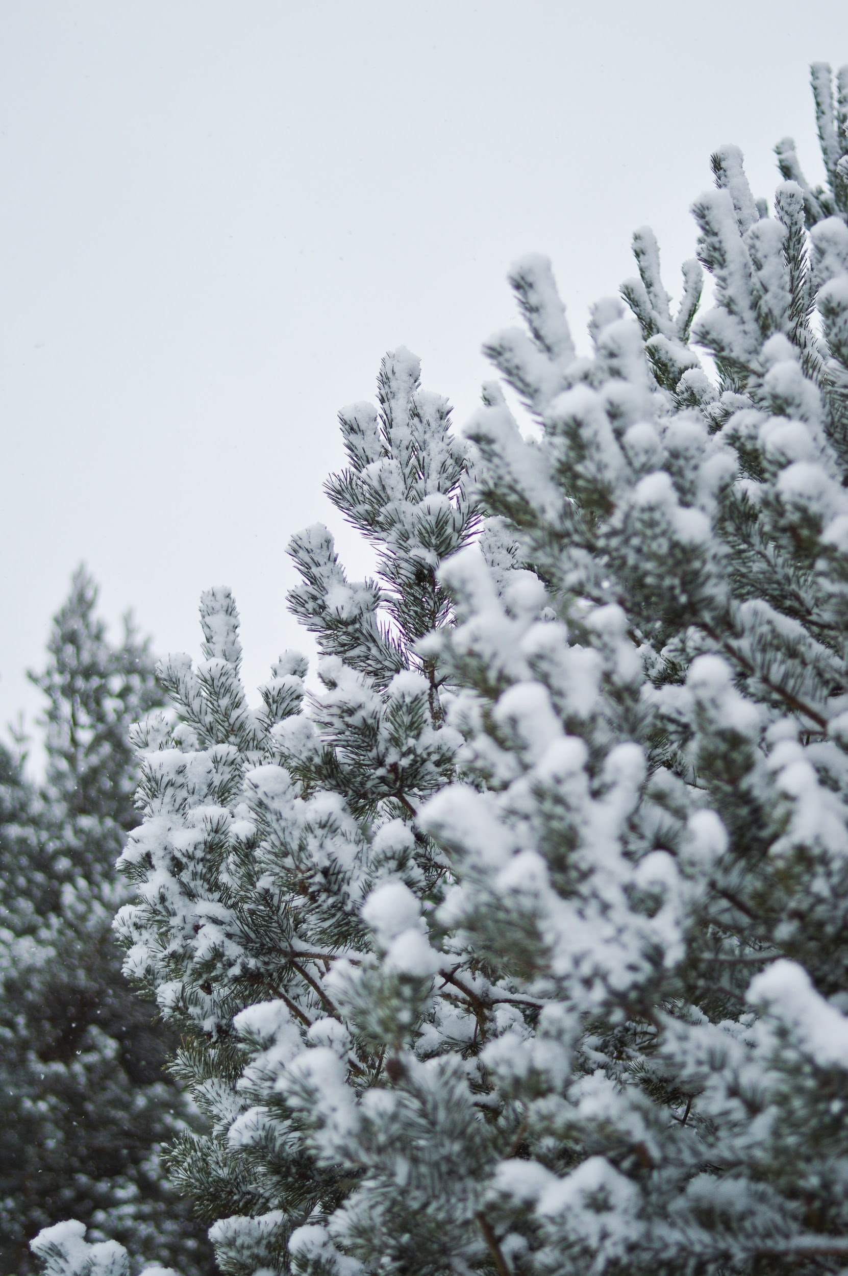 Snow capped evergreen on a cold day