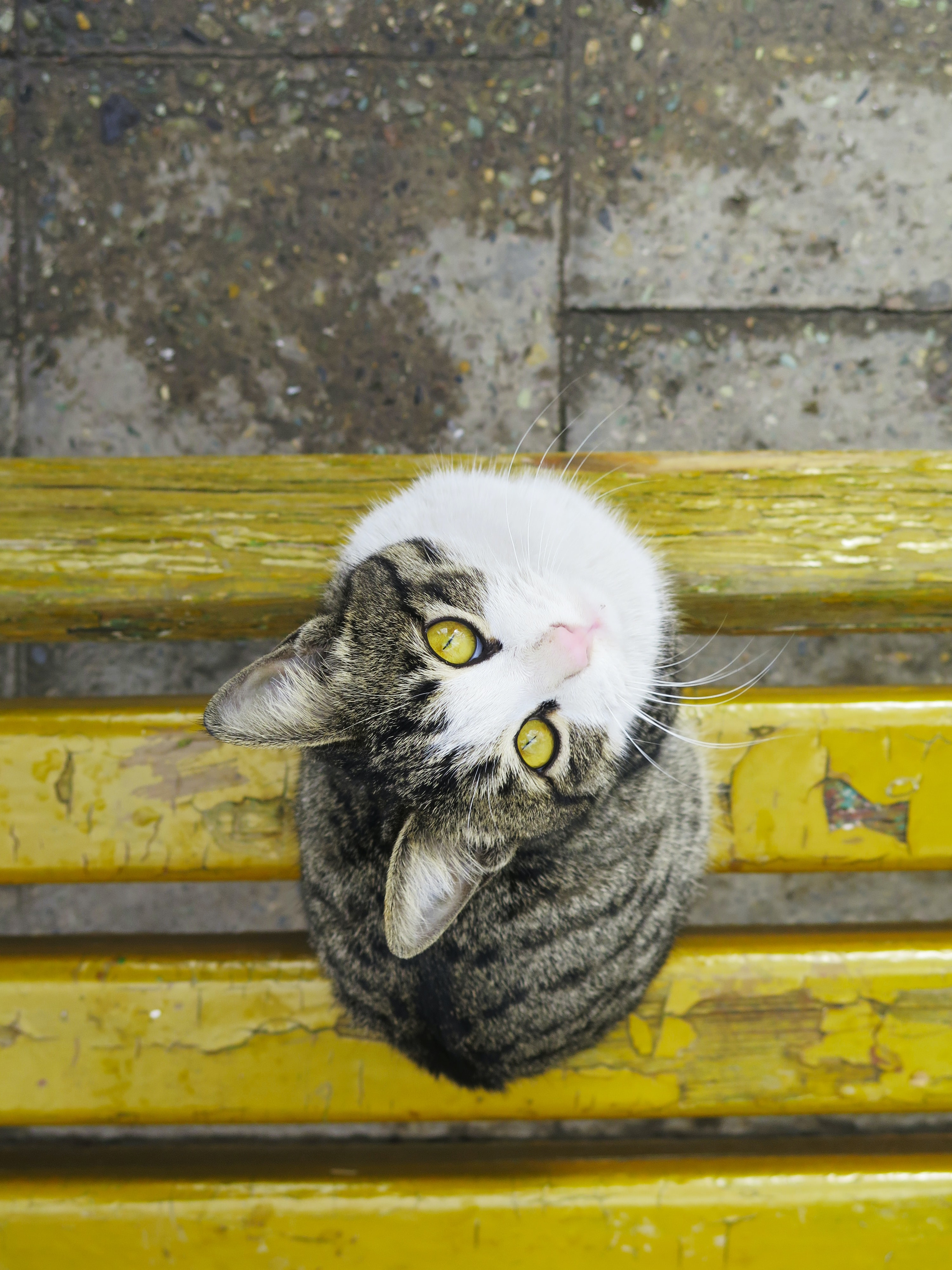 Gray and white cat looks up on a yellow bench