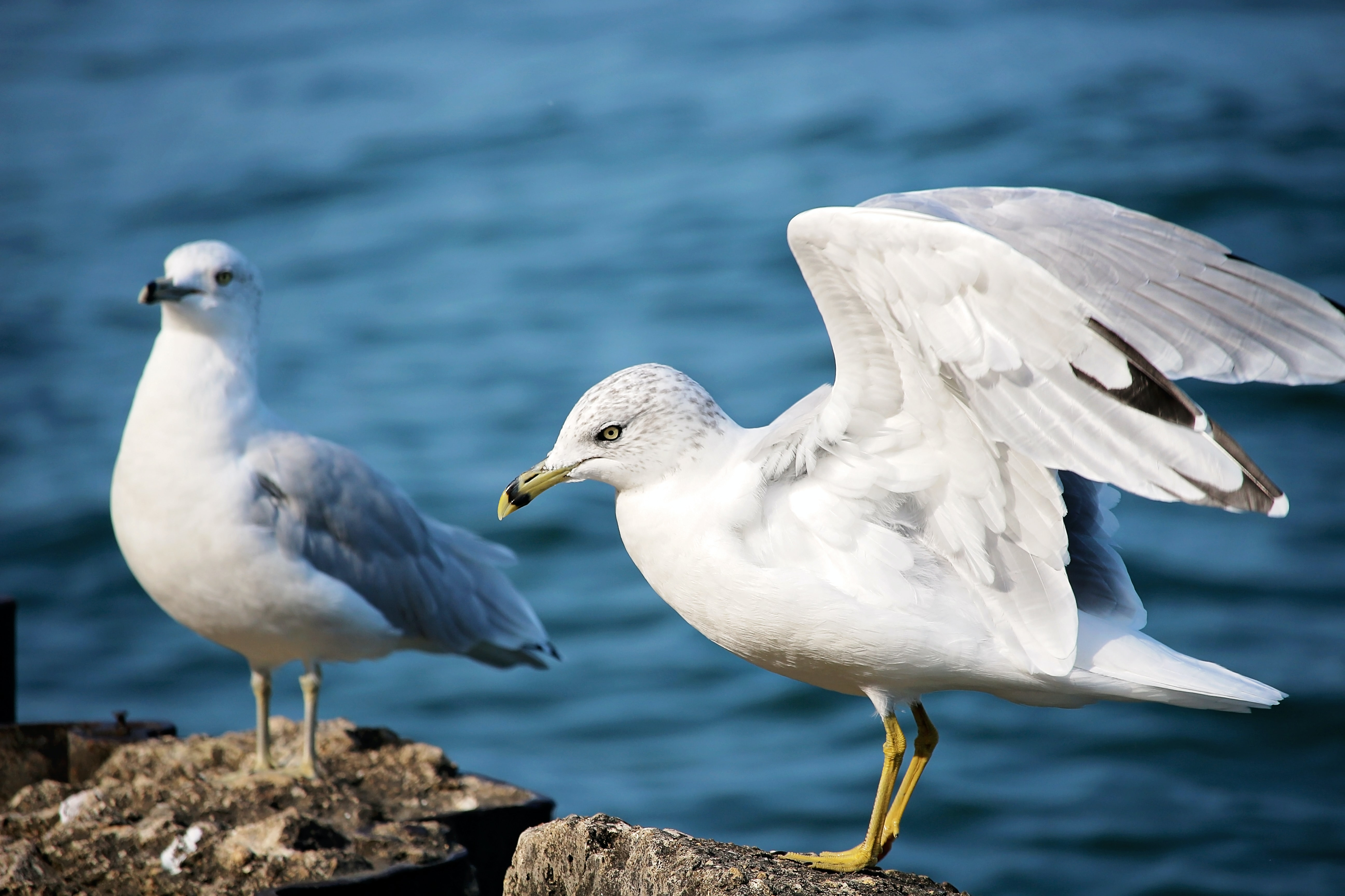 two white seagulls standing on gray stones