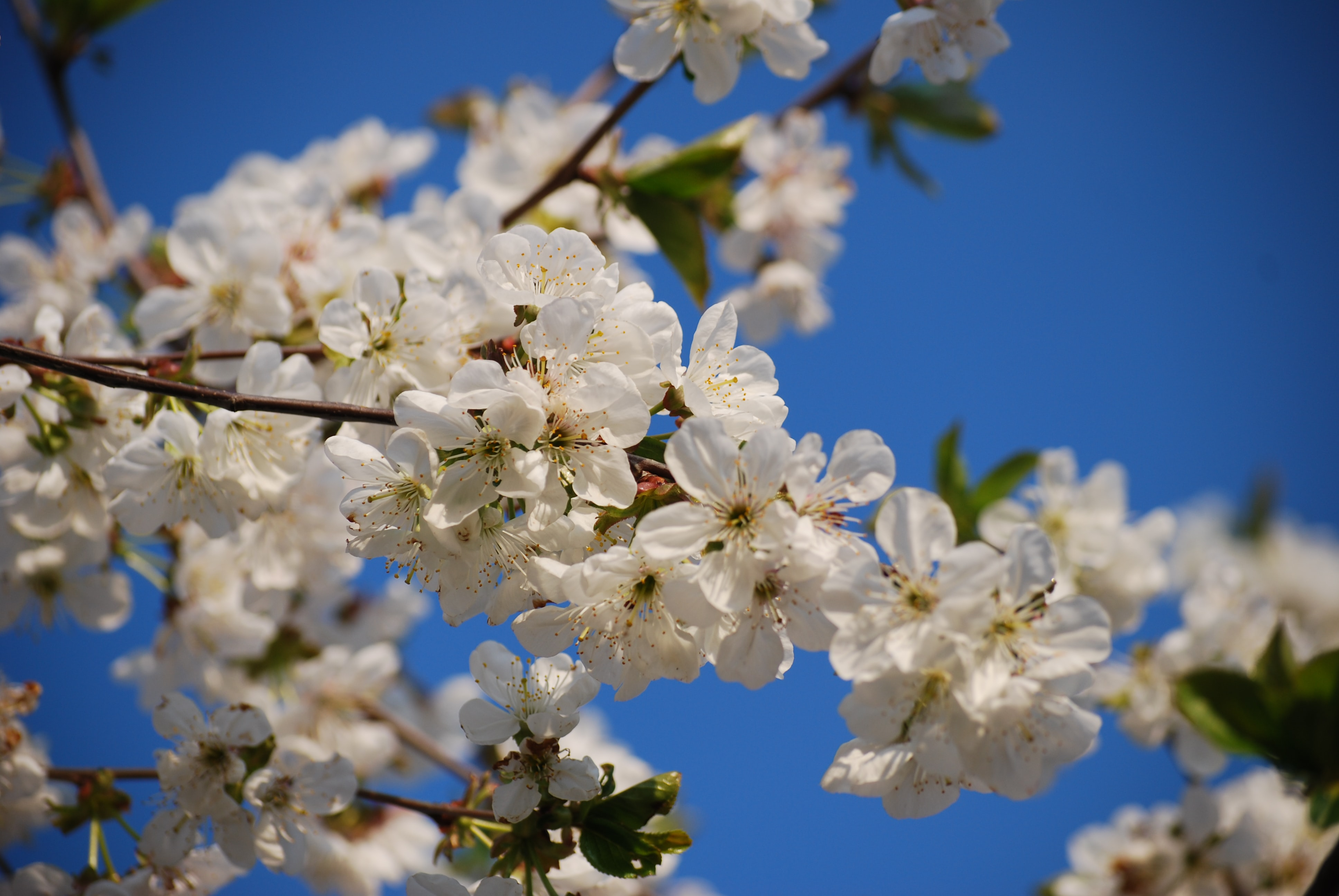 Close up of white blossom on branch against brilliant clear blue sky in Spring
