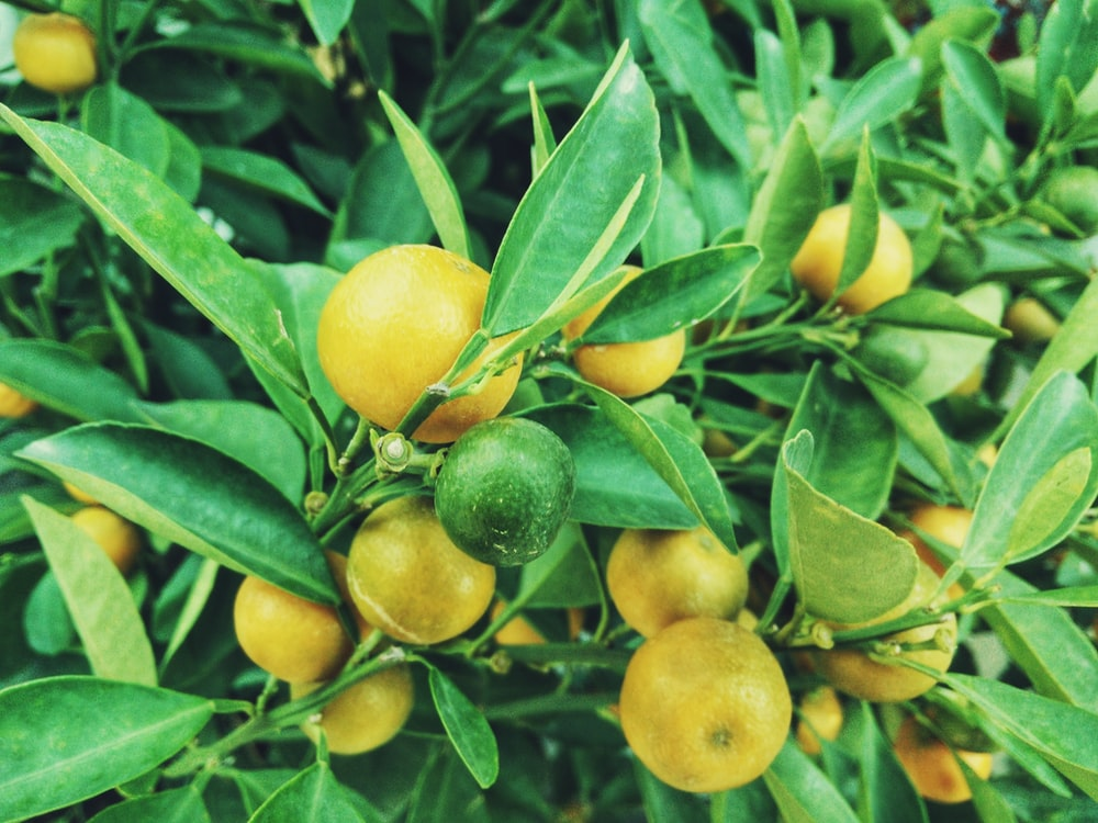 yellow and green citrus fruit