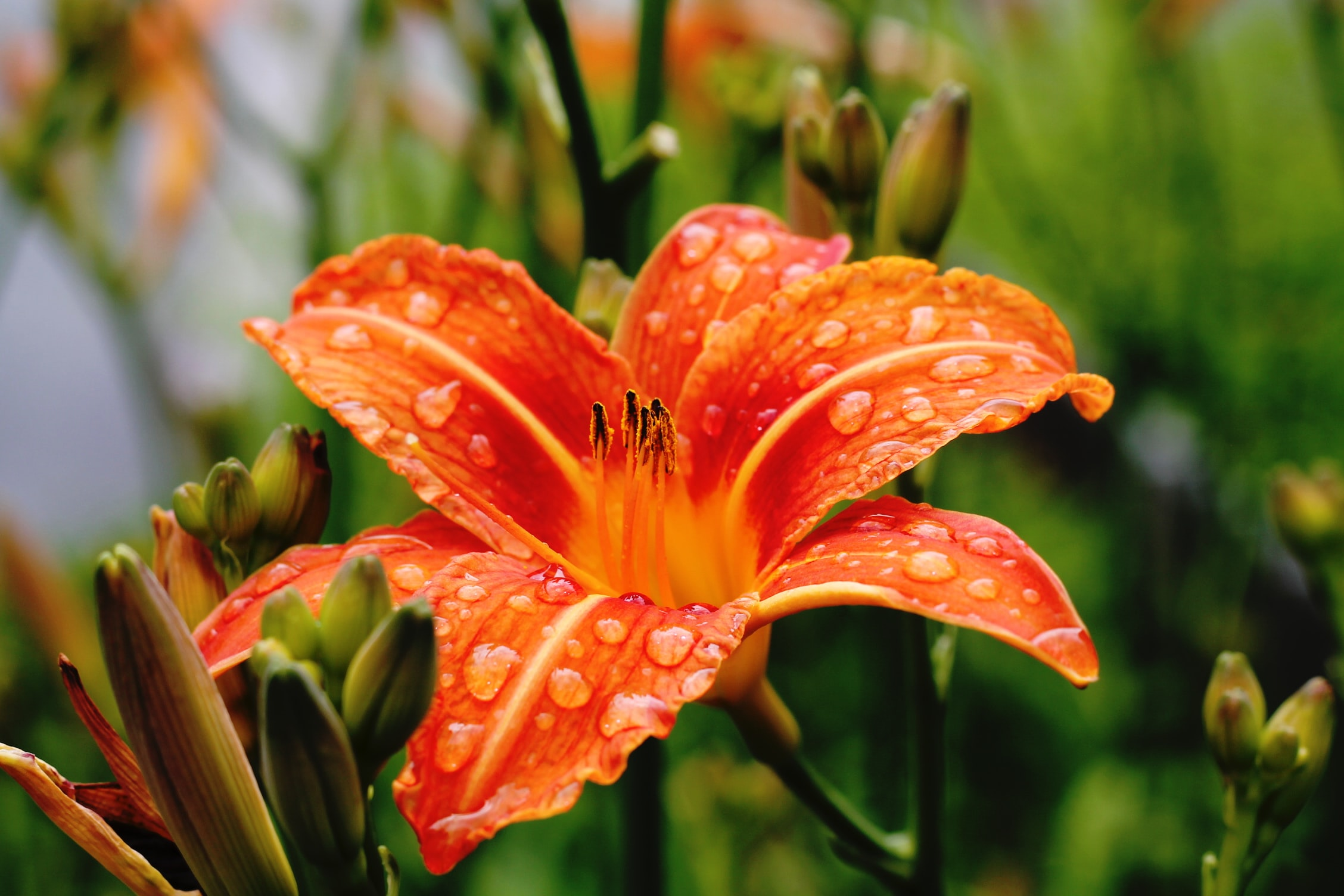 A red lily covered with waterdrops