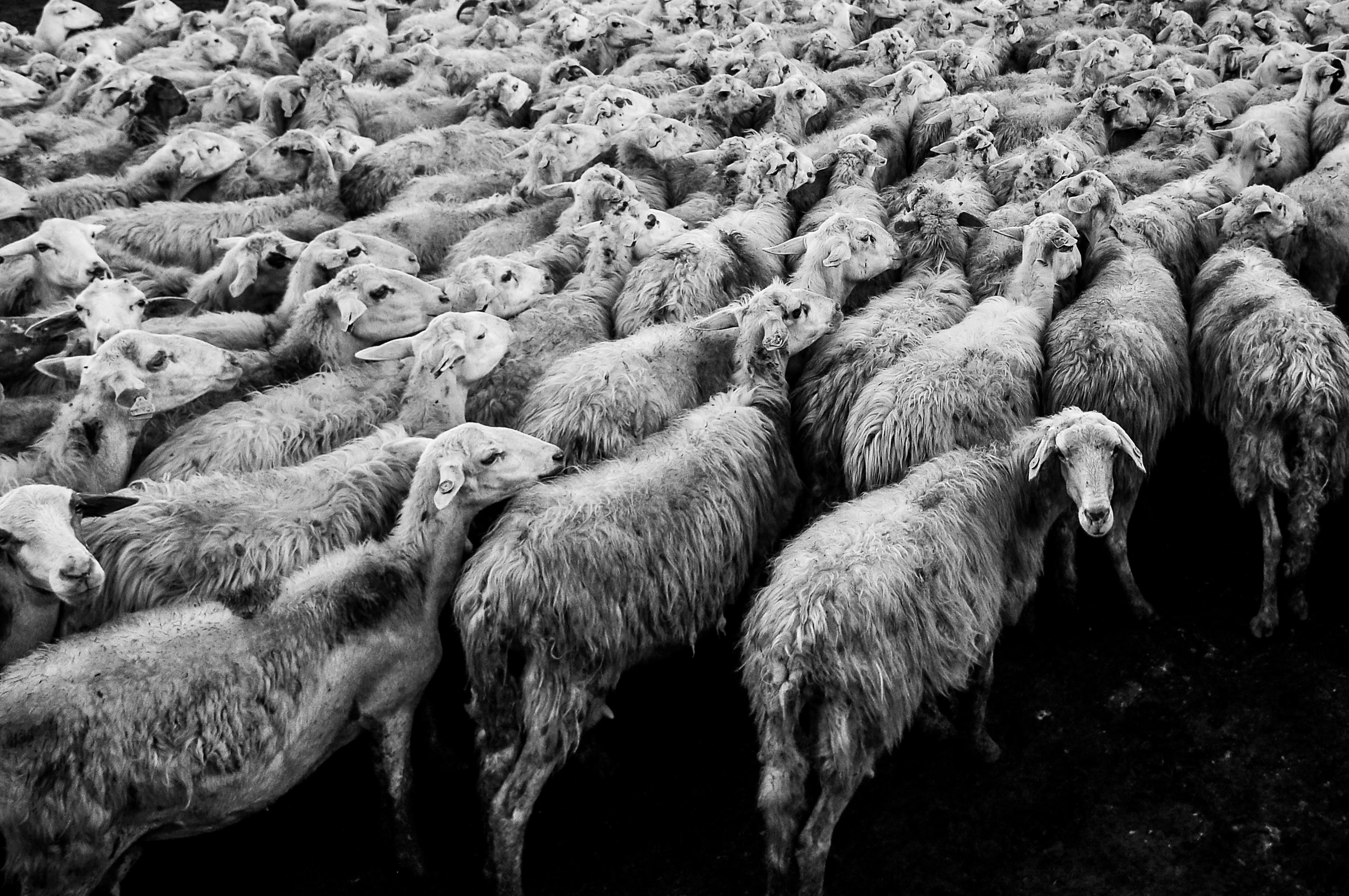 Big flock of woolly sheep headed towards one direction together