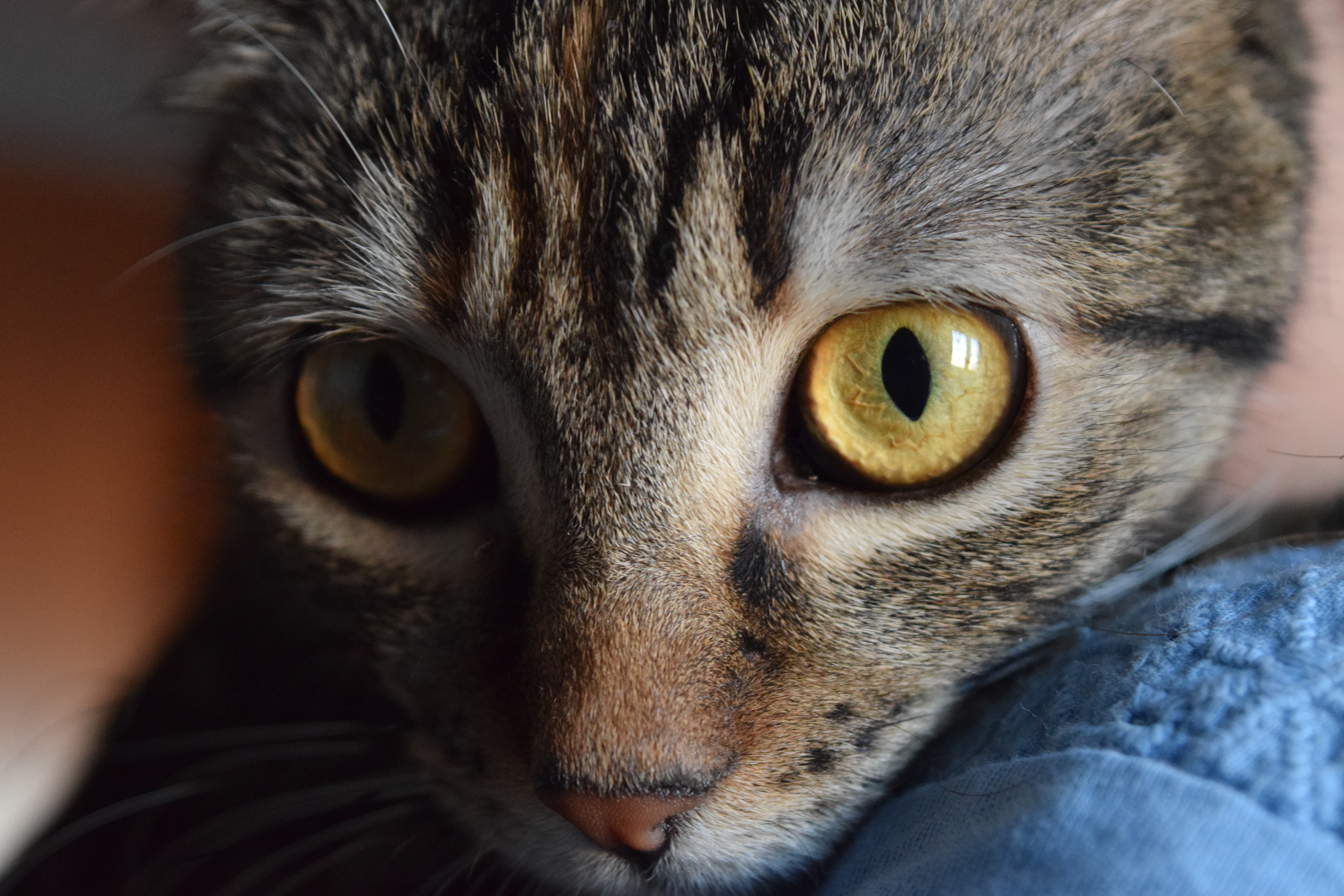 Close-up of a tabby cat's large green eyes