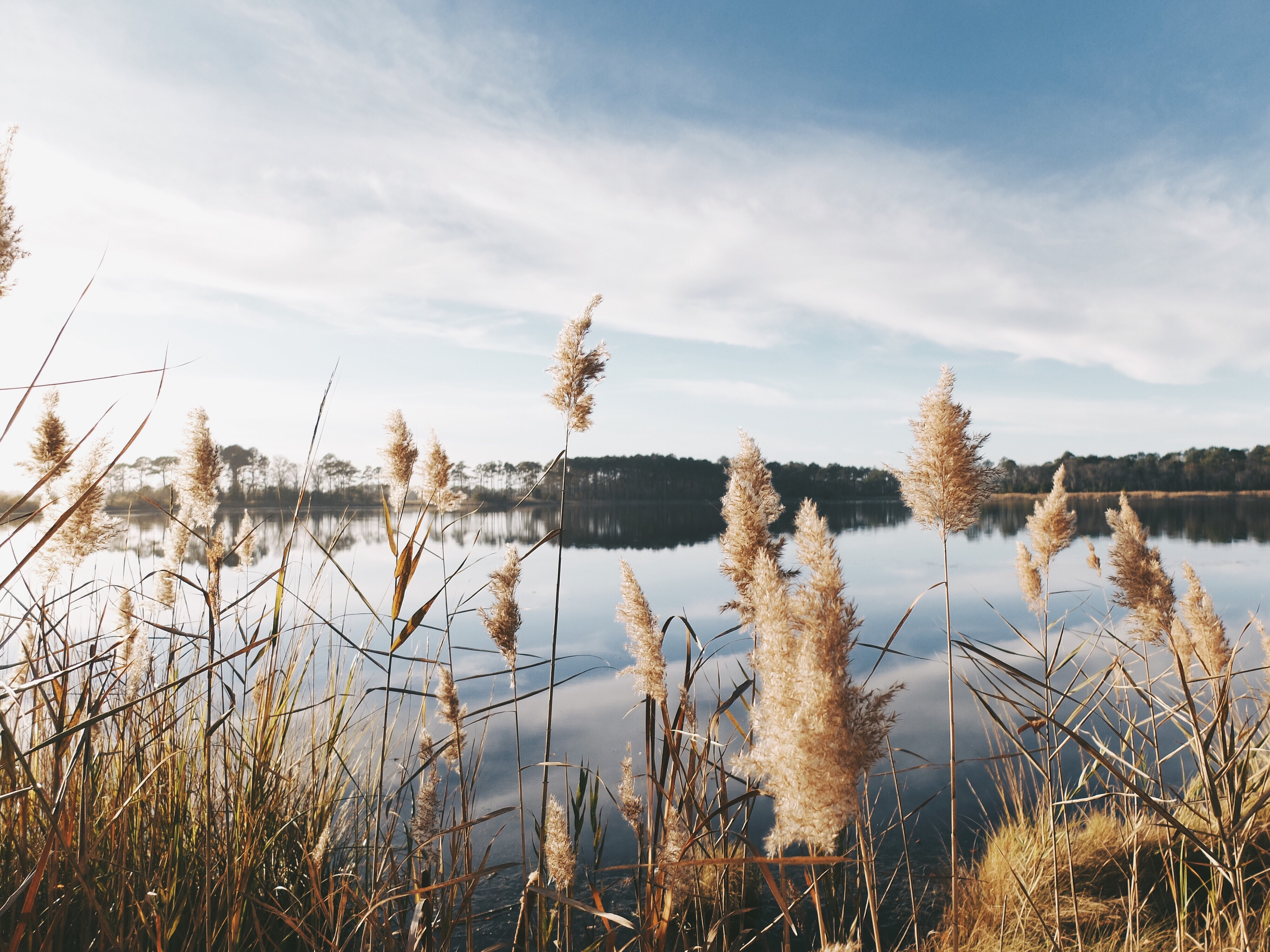 Tall grass on a lake's shore in Selbyville