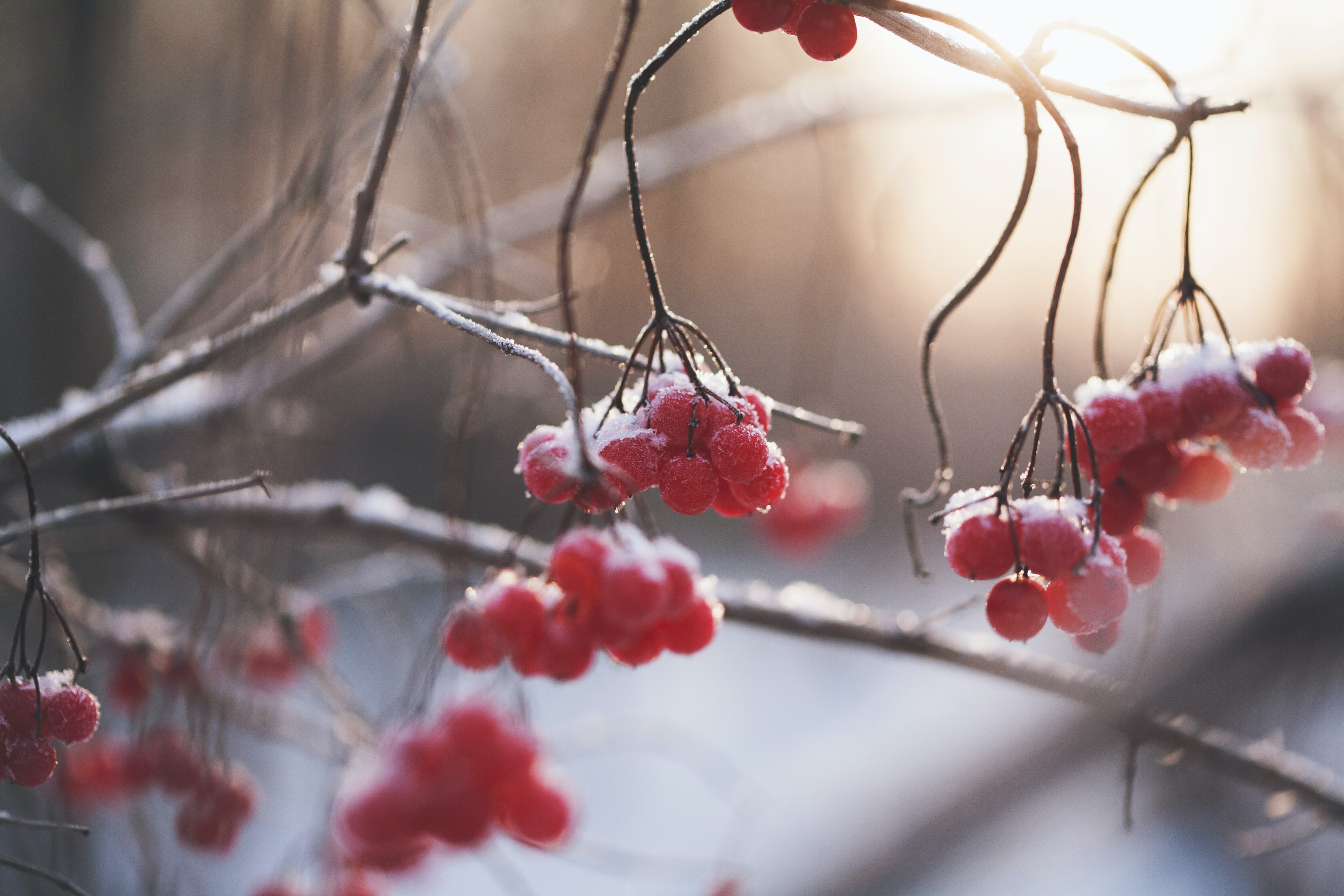 Red berries on bare tree branches that are covered in frost by the Vuoksi River