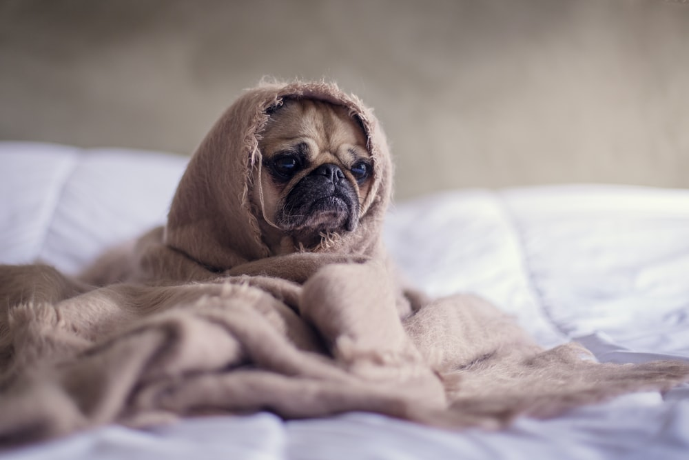A pug wrapped in a blanket on a bed
