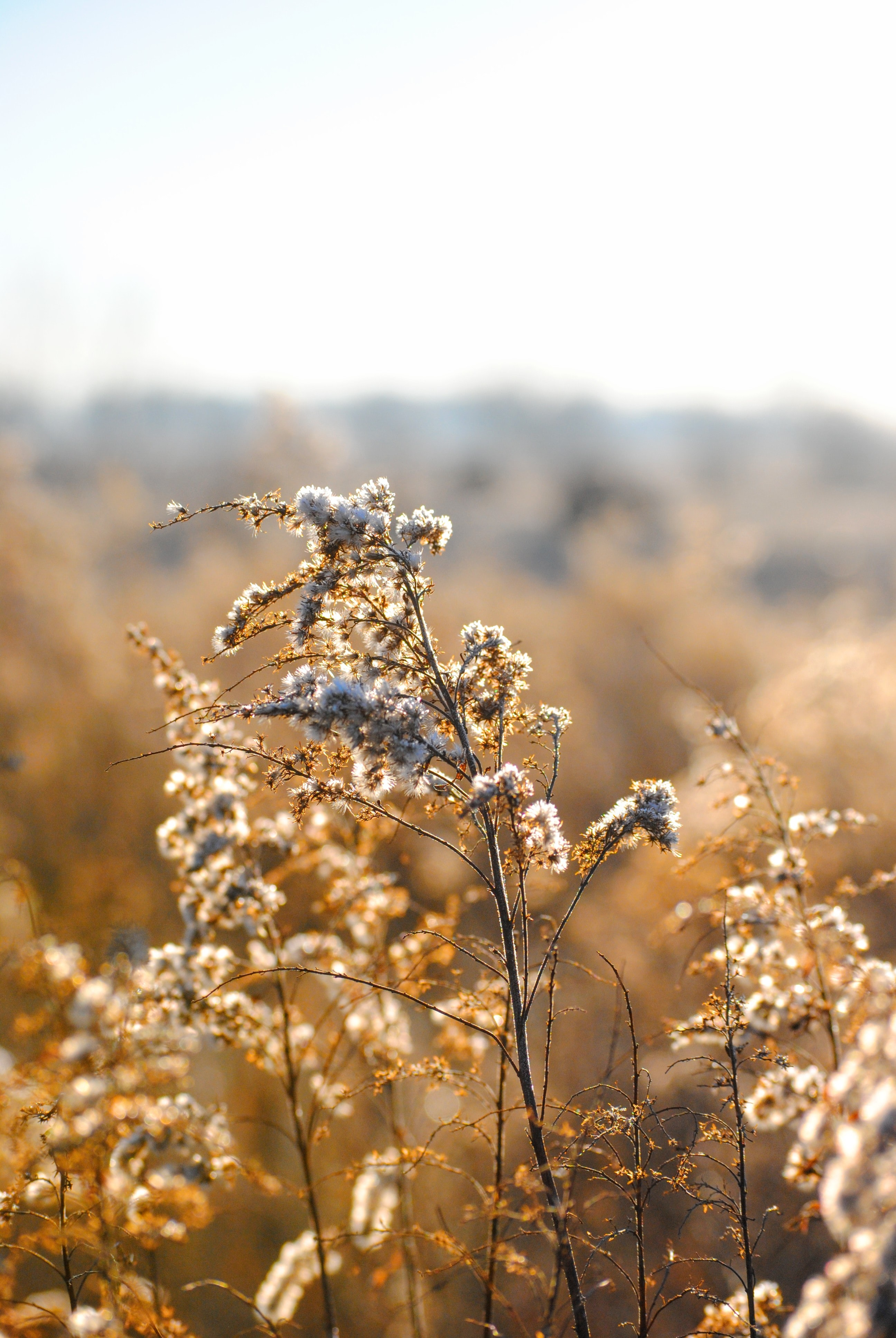 Long branches covered with white flowers in a golden field in Columbus