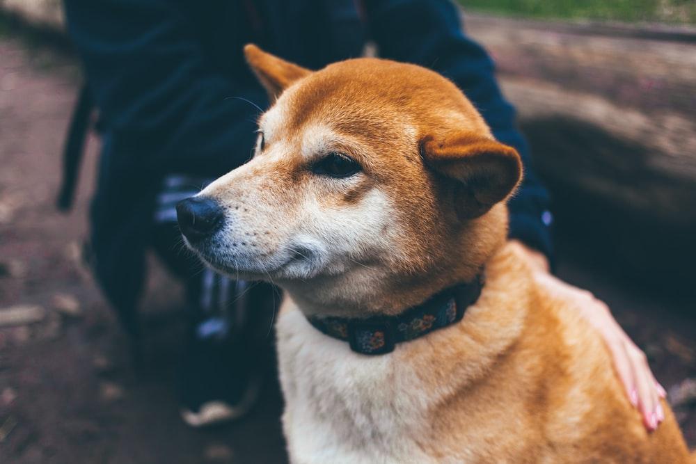 Iba Shinu dog